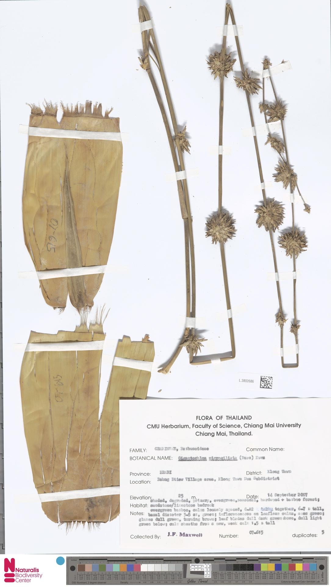 L.3802686 | Gigantochloa nigrociliata Kurz