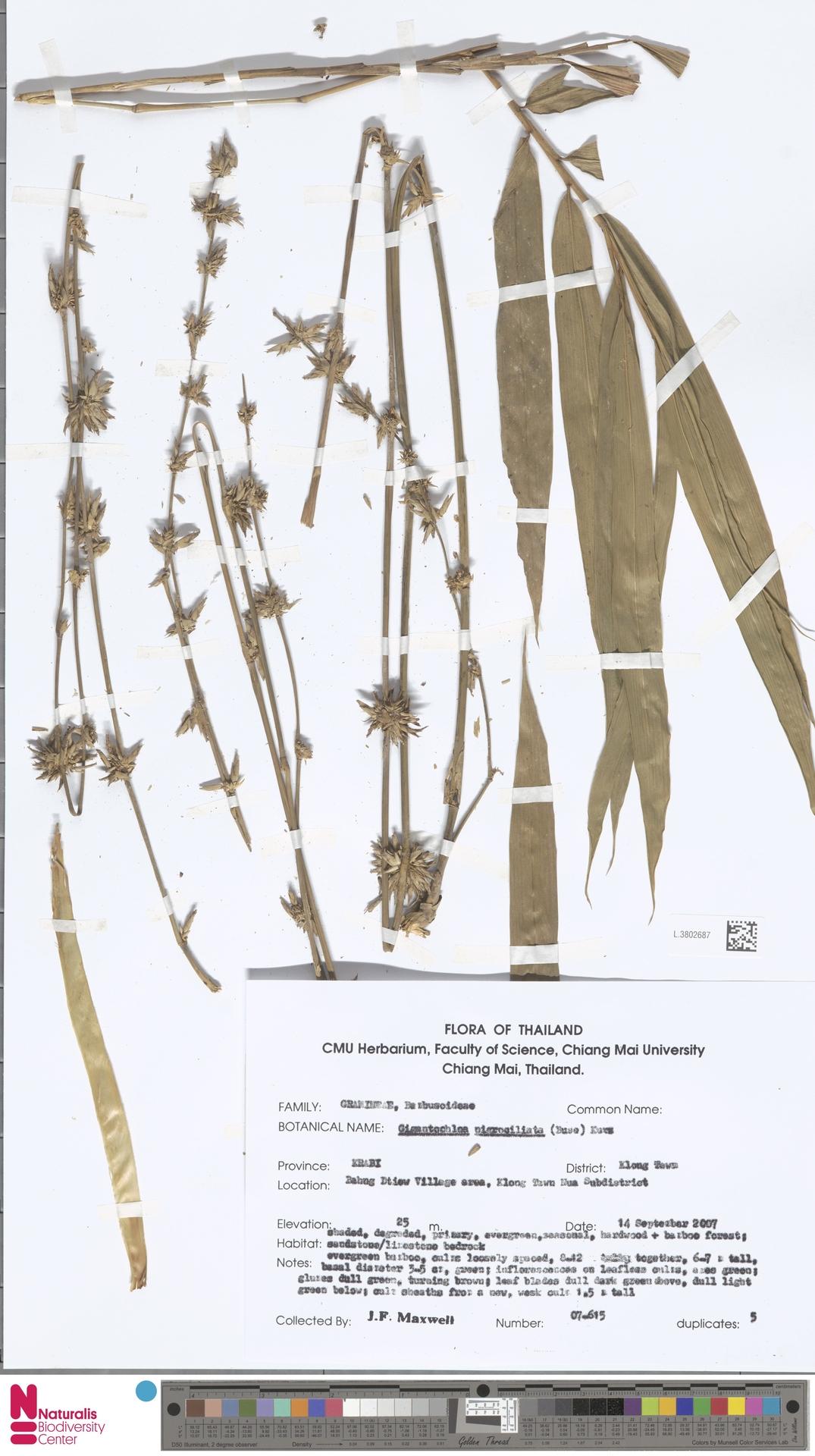 L.3802687 | Gigantochloa nigrociliata Kurz