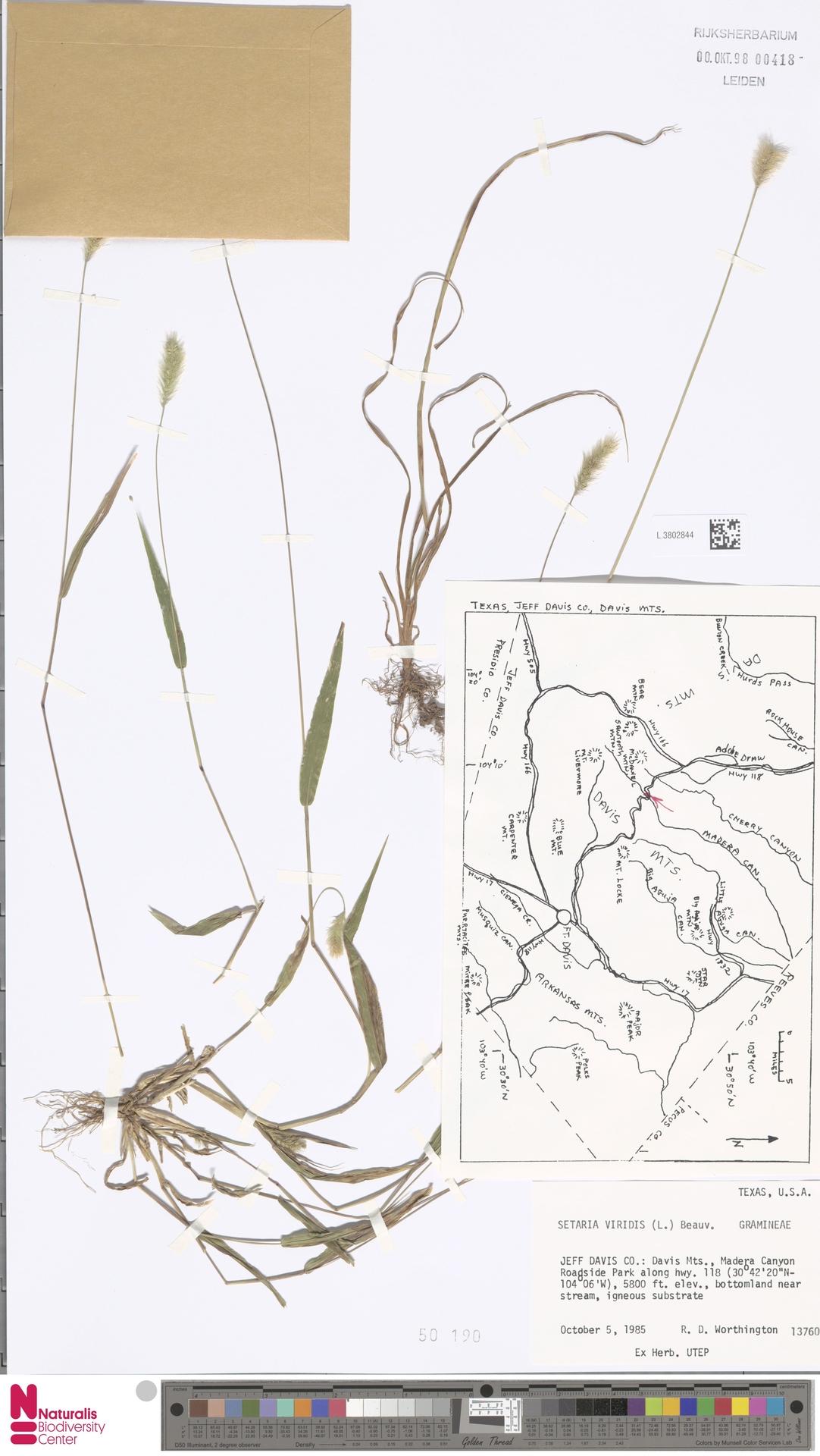 L.3802844 | Setaria viridis (L.) P.Beauv.