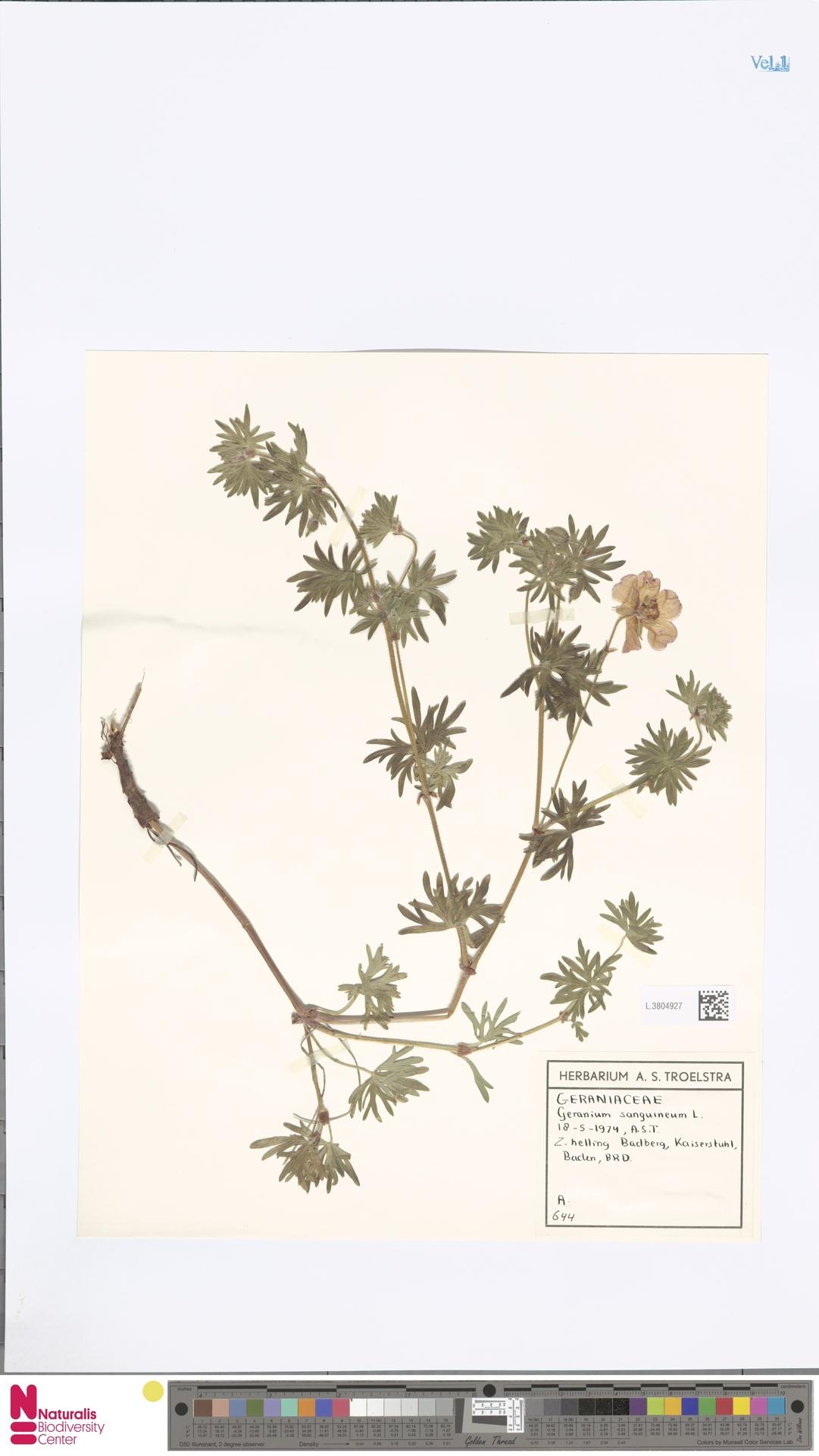 L.3804927   Geranium sanguineum L.