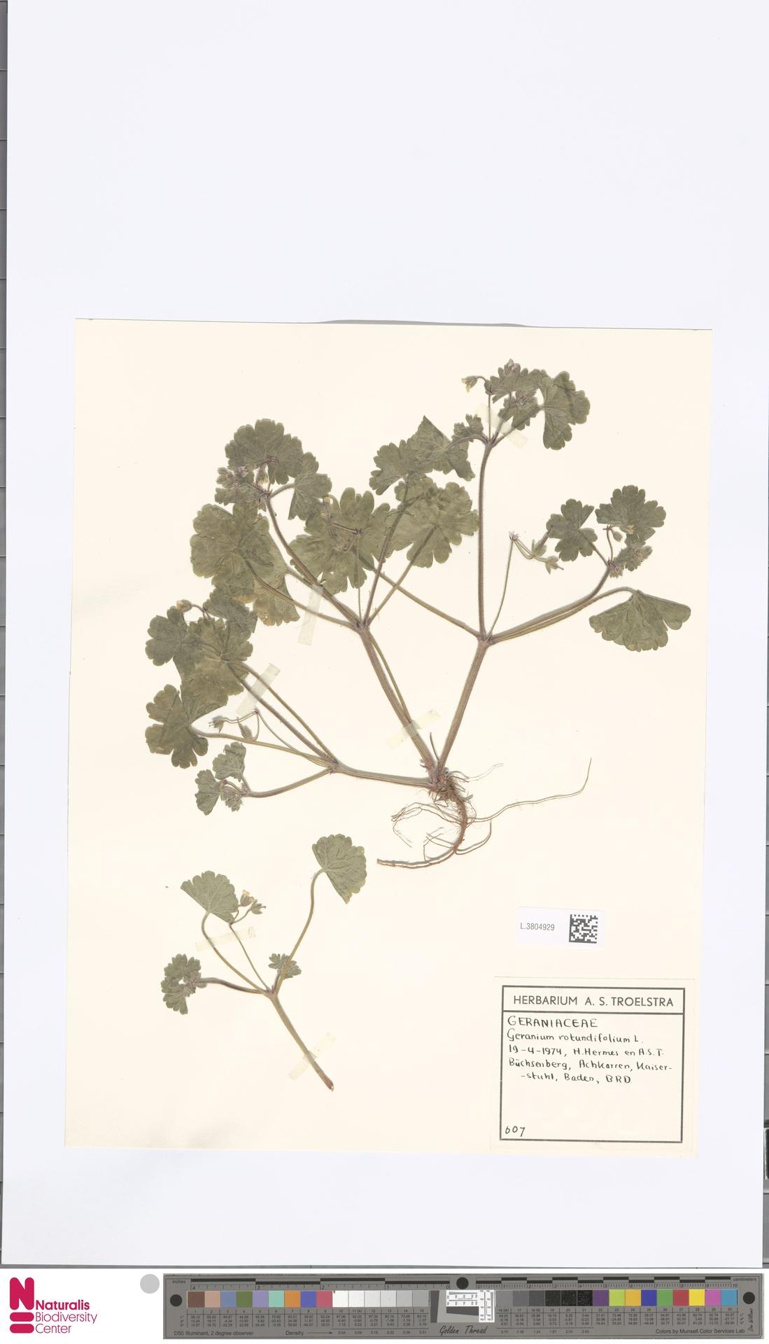 L.3804929 | Geranium rotundifolium L.