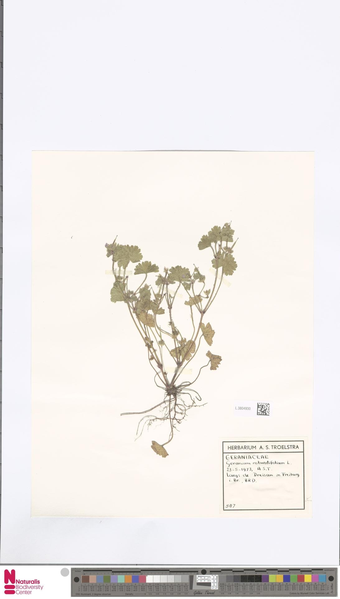 L.3804930   Geranium rotundifolium L.