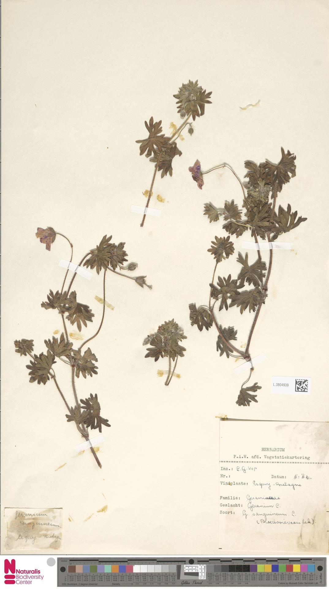 L.3804939 | Geranium sanguineum L.