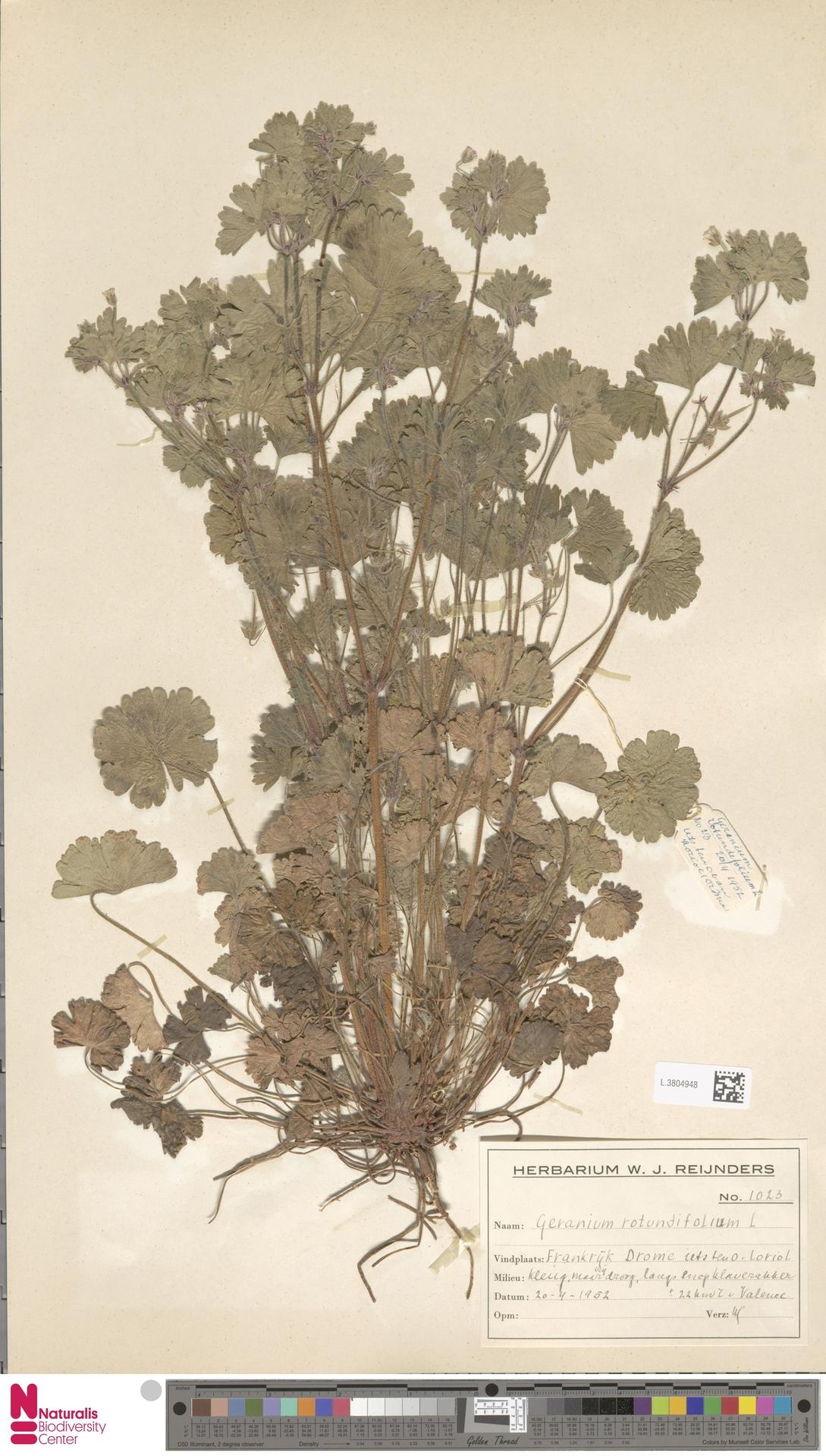 L.3804948   Geranium rotundifolium L.