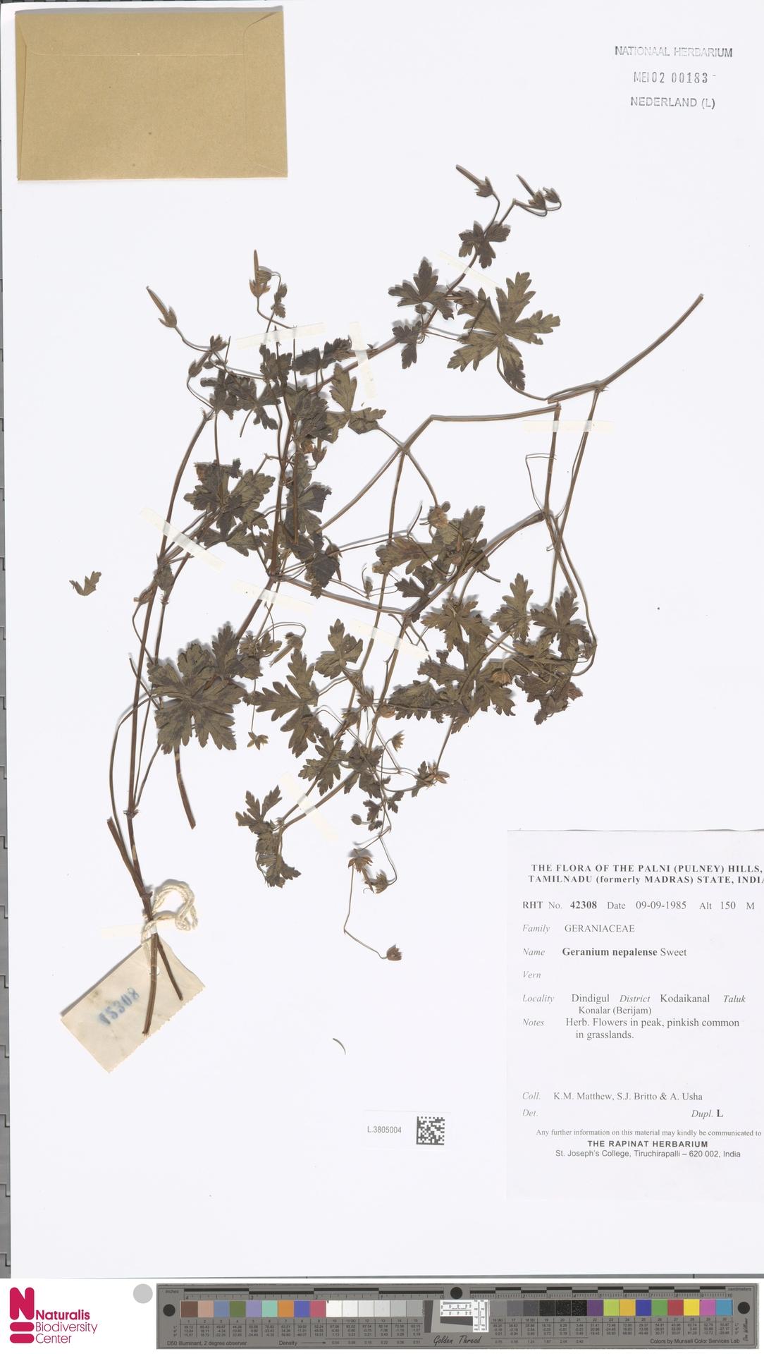 L.3805004 | Geranium nepalense Sweet