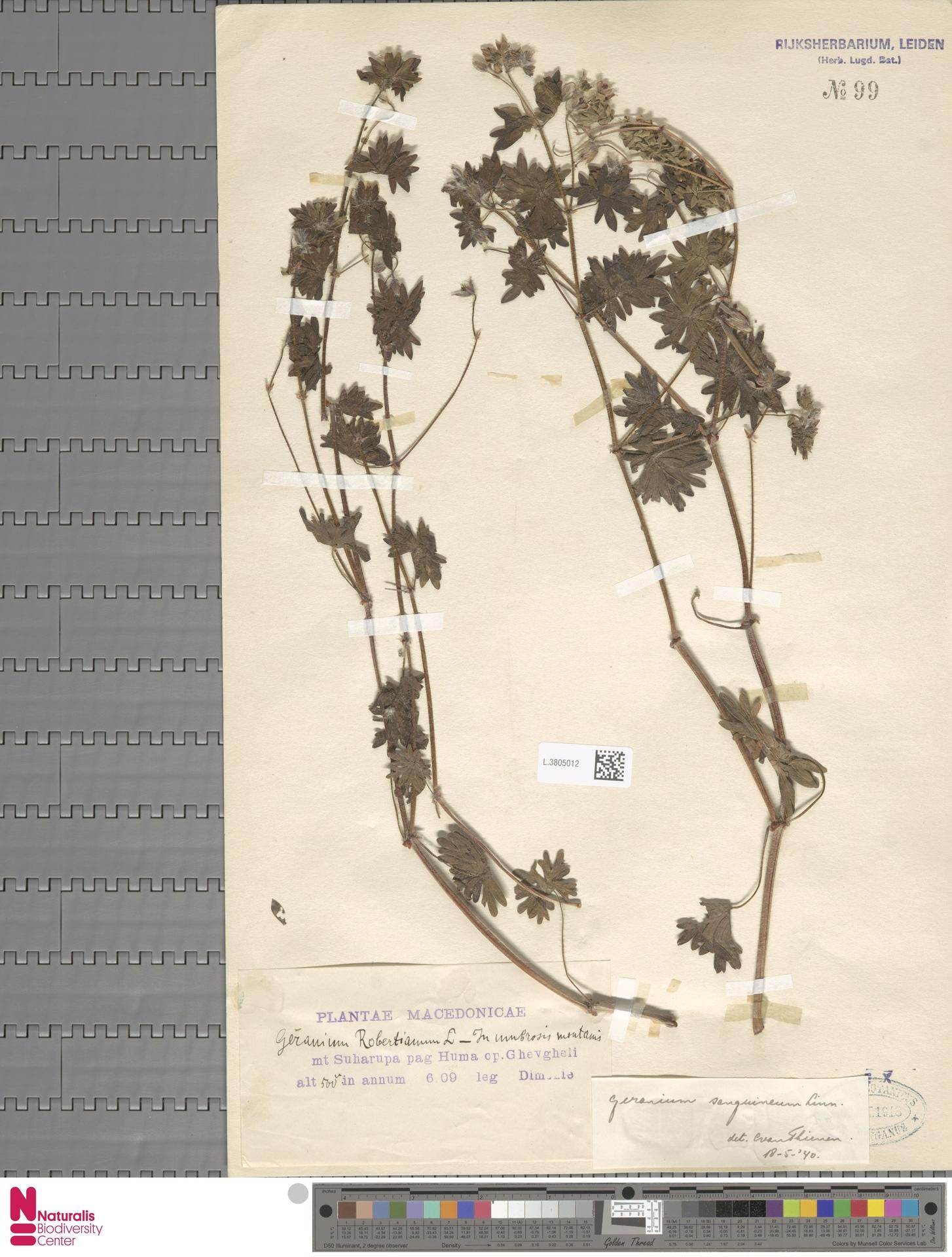 L.3805012   Geranium sanguineum L.