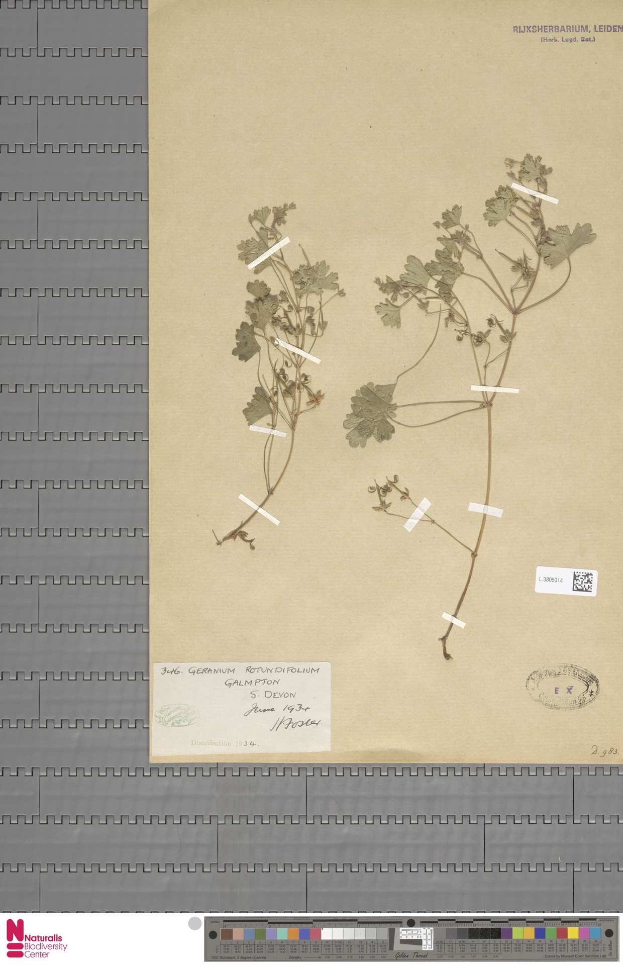 L.3805014   Geranium rotundifolium L.