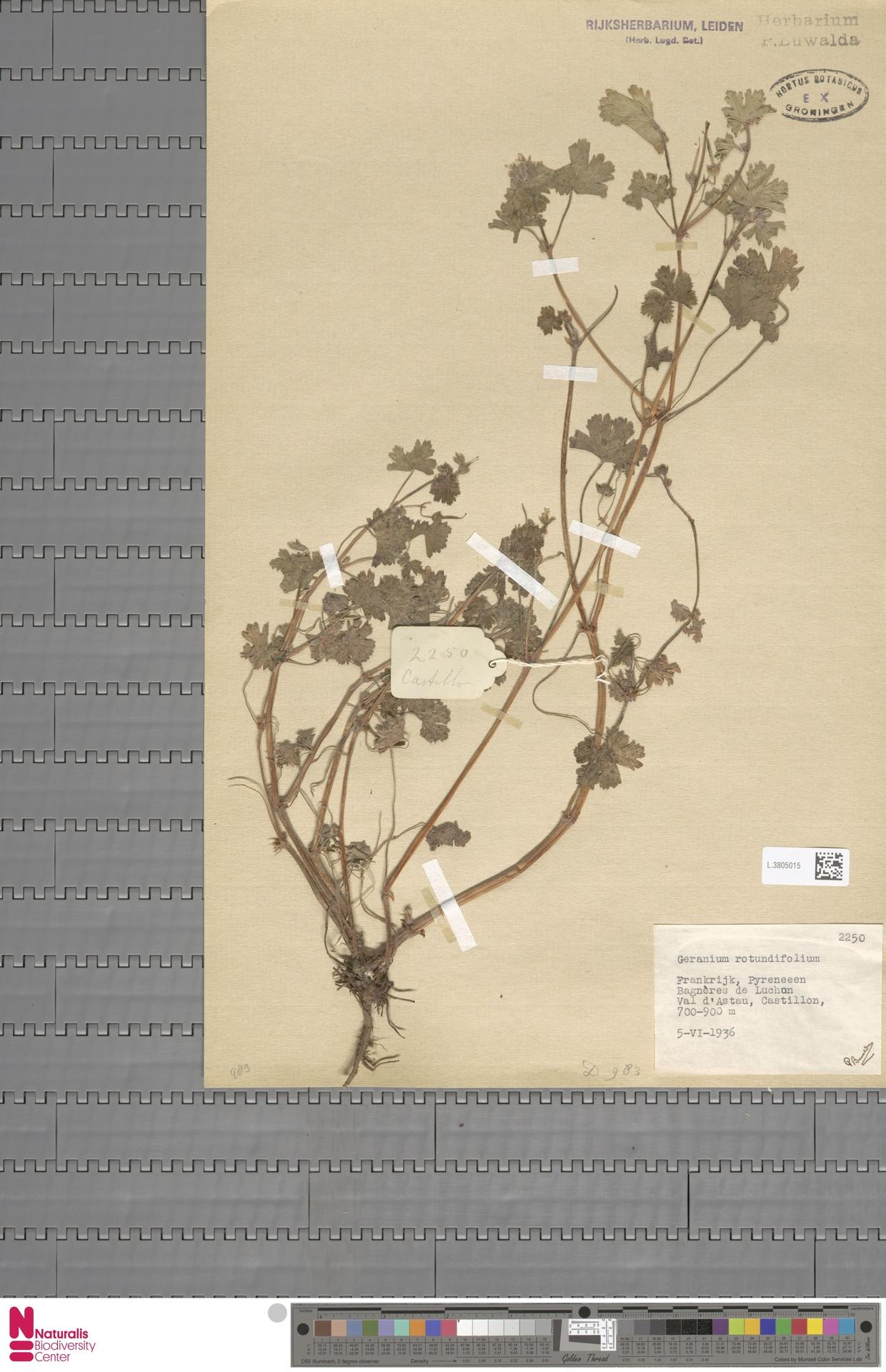 L.3805015 | Geranium rotundifolium L.