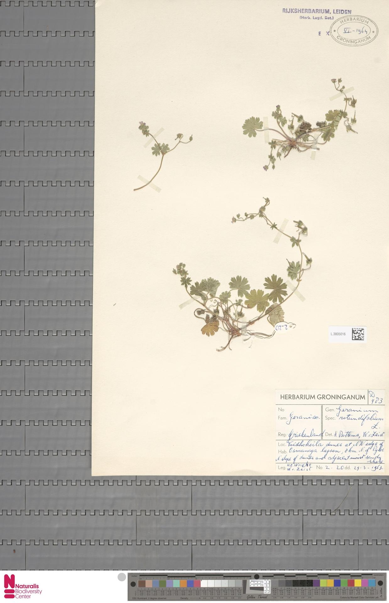 L.3805016 | Geranium rotundifolium L.