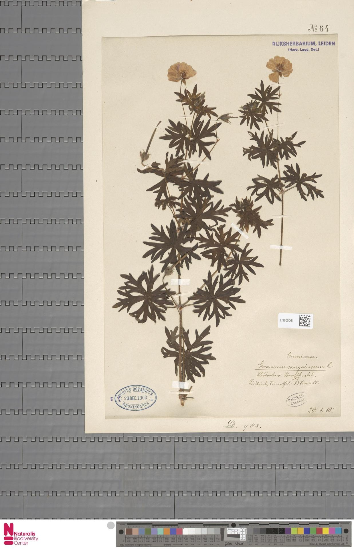 L.3805061   Geranium sanguineum L.