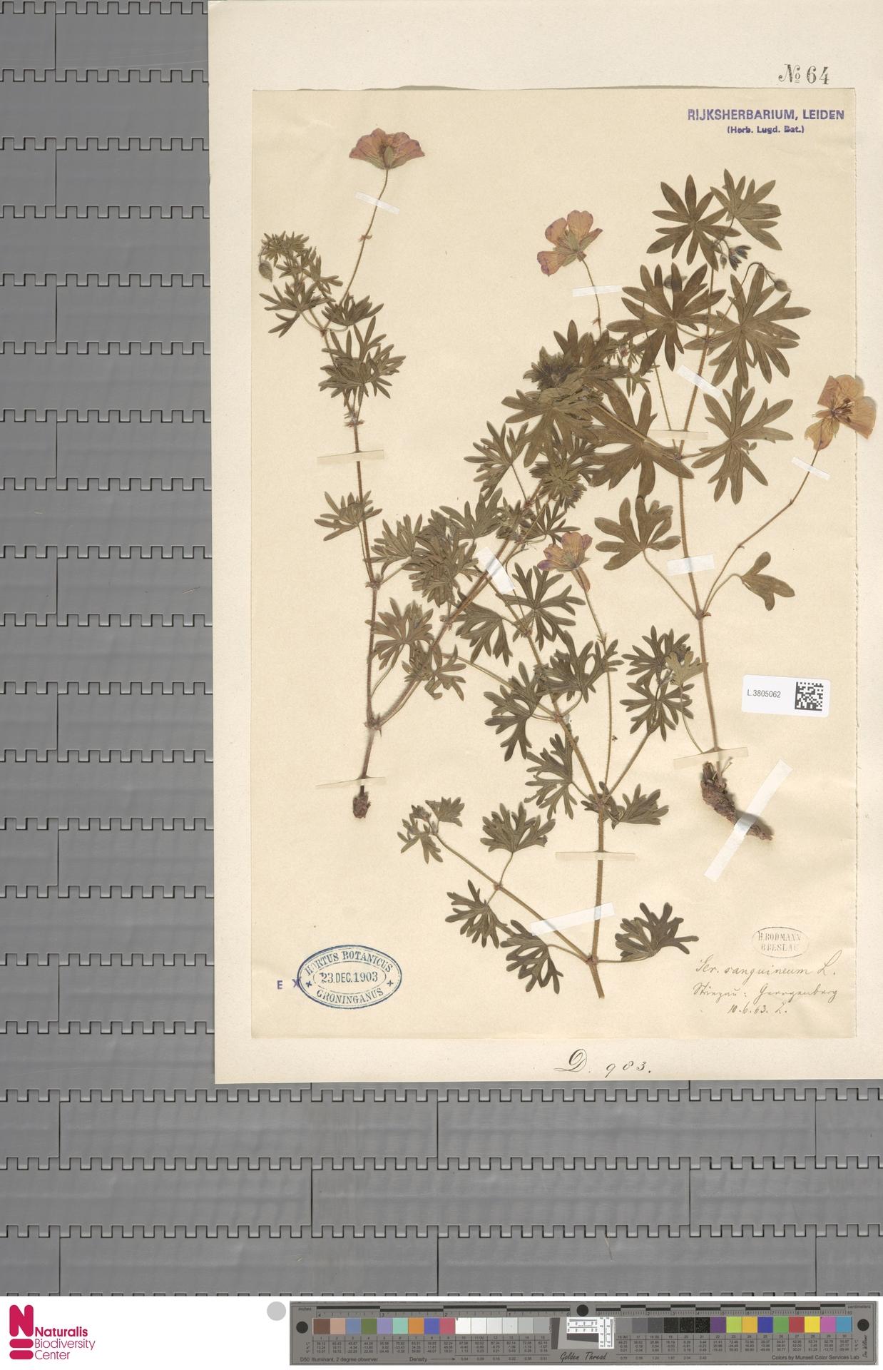 L.3805062 | Geranium sanguineum L.