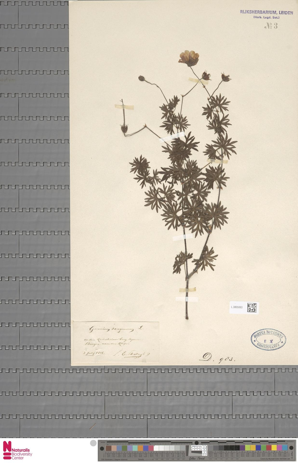 L.3805063   Geranium sanguineum L.