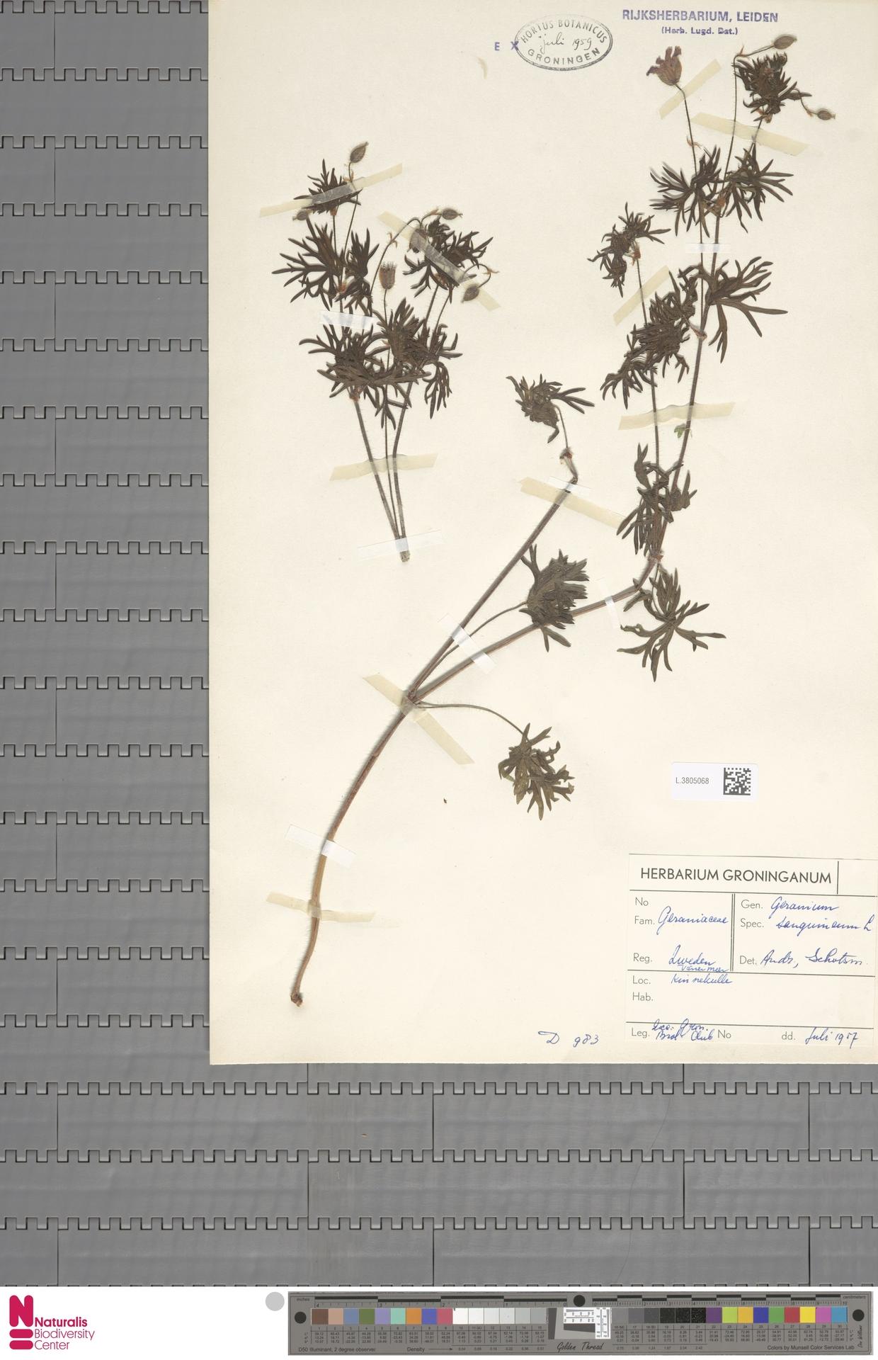 L.3805068 | Geranium sanguineum L.