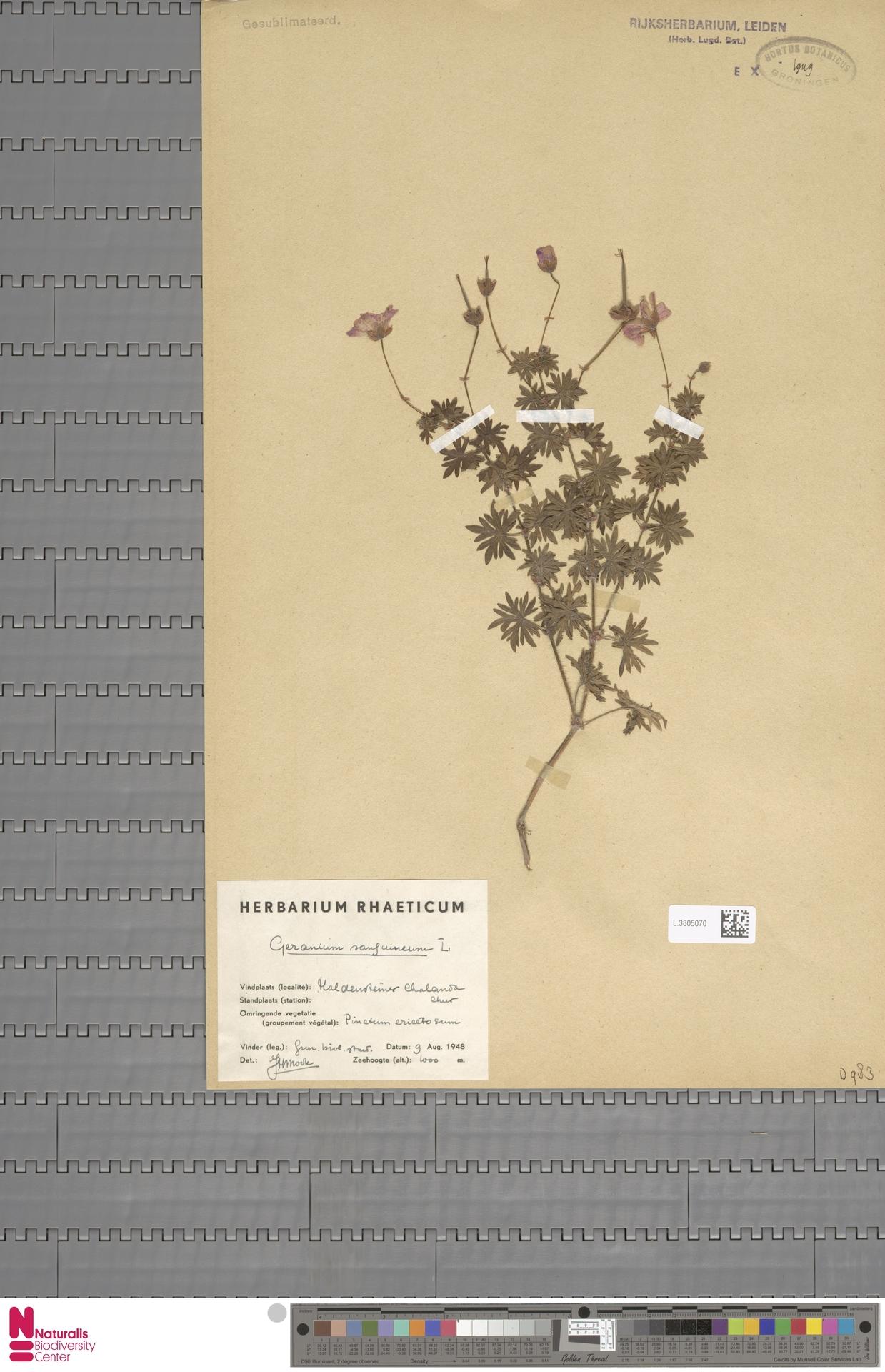 L.3805070 | Geranium sanguineum L.