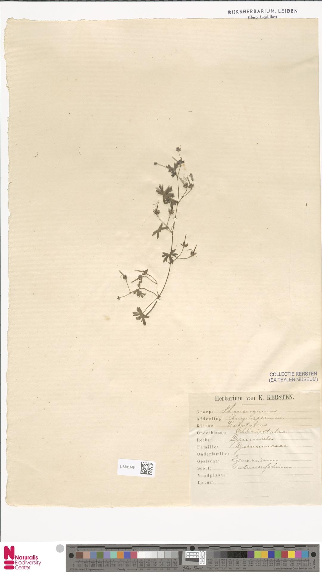 L.3805149   Geranium rotundifolium L.