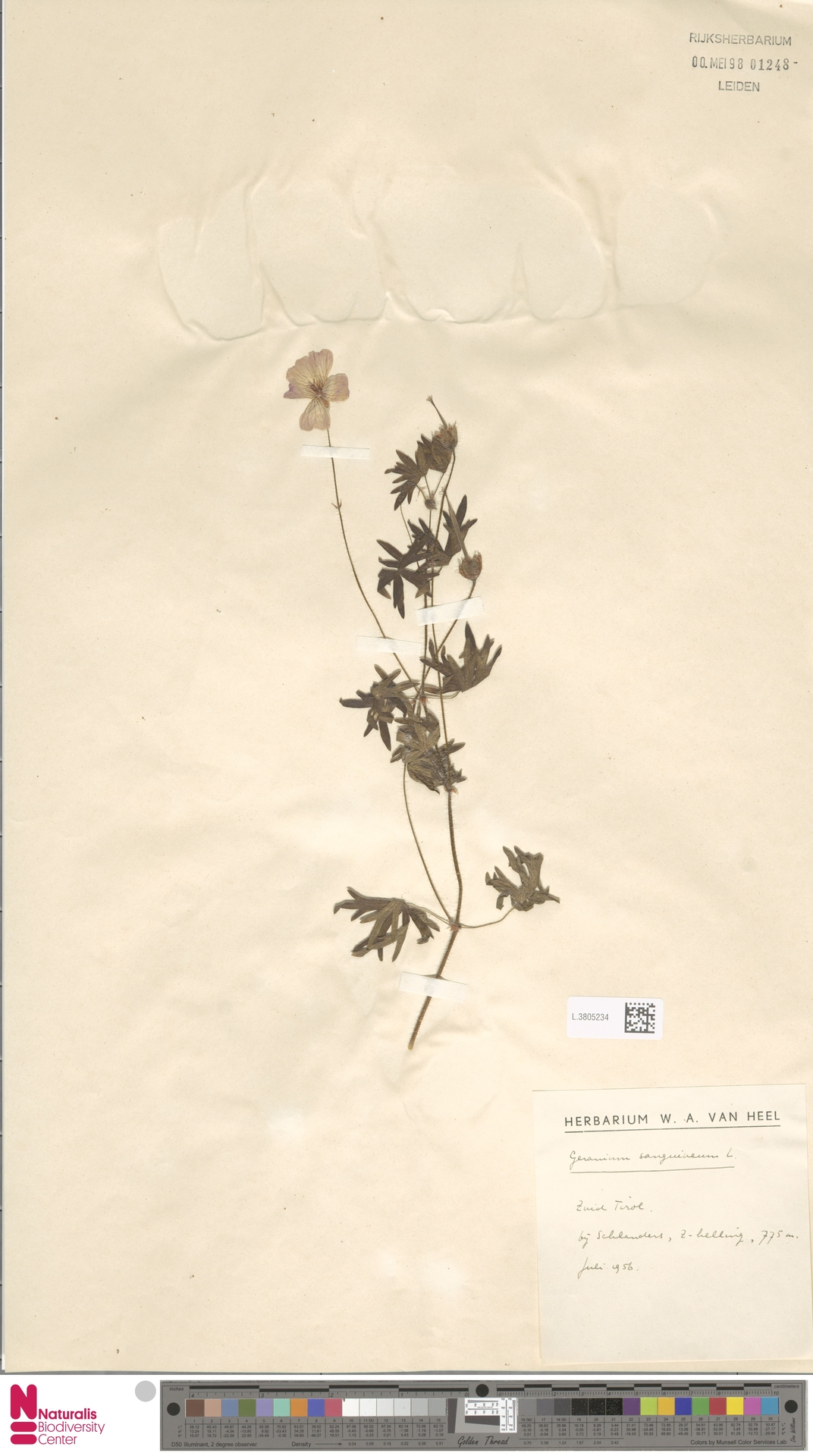 L.3805234 | Geranium sanguineum L.