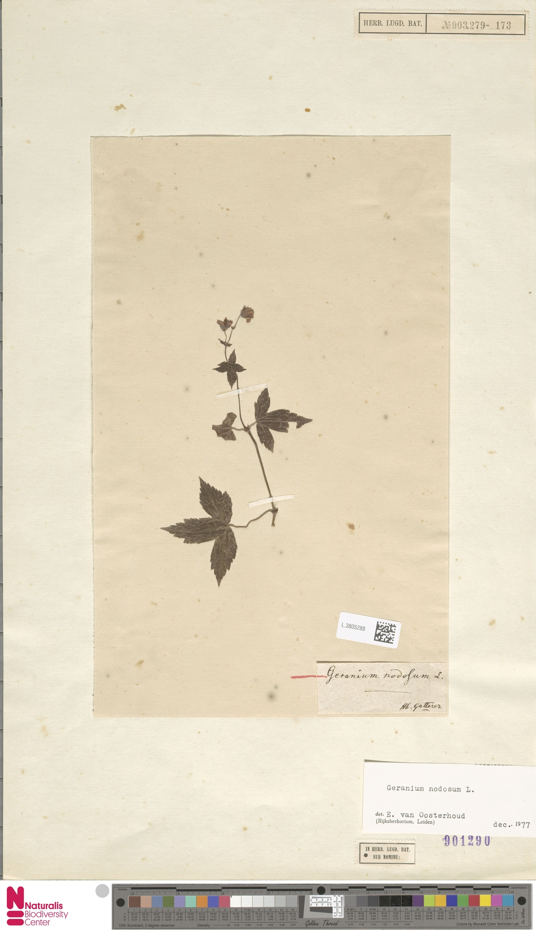 L.3805288 | Geranium nodosum L.