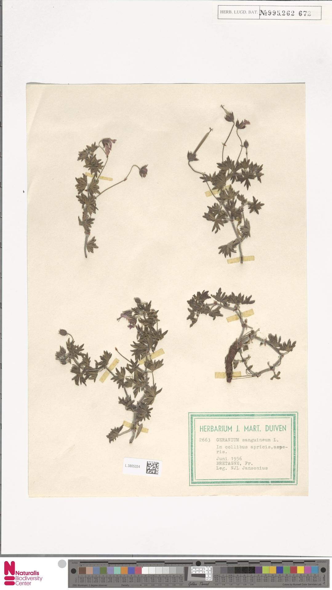 L.3805334 | Geranium sanguineum L.