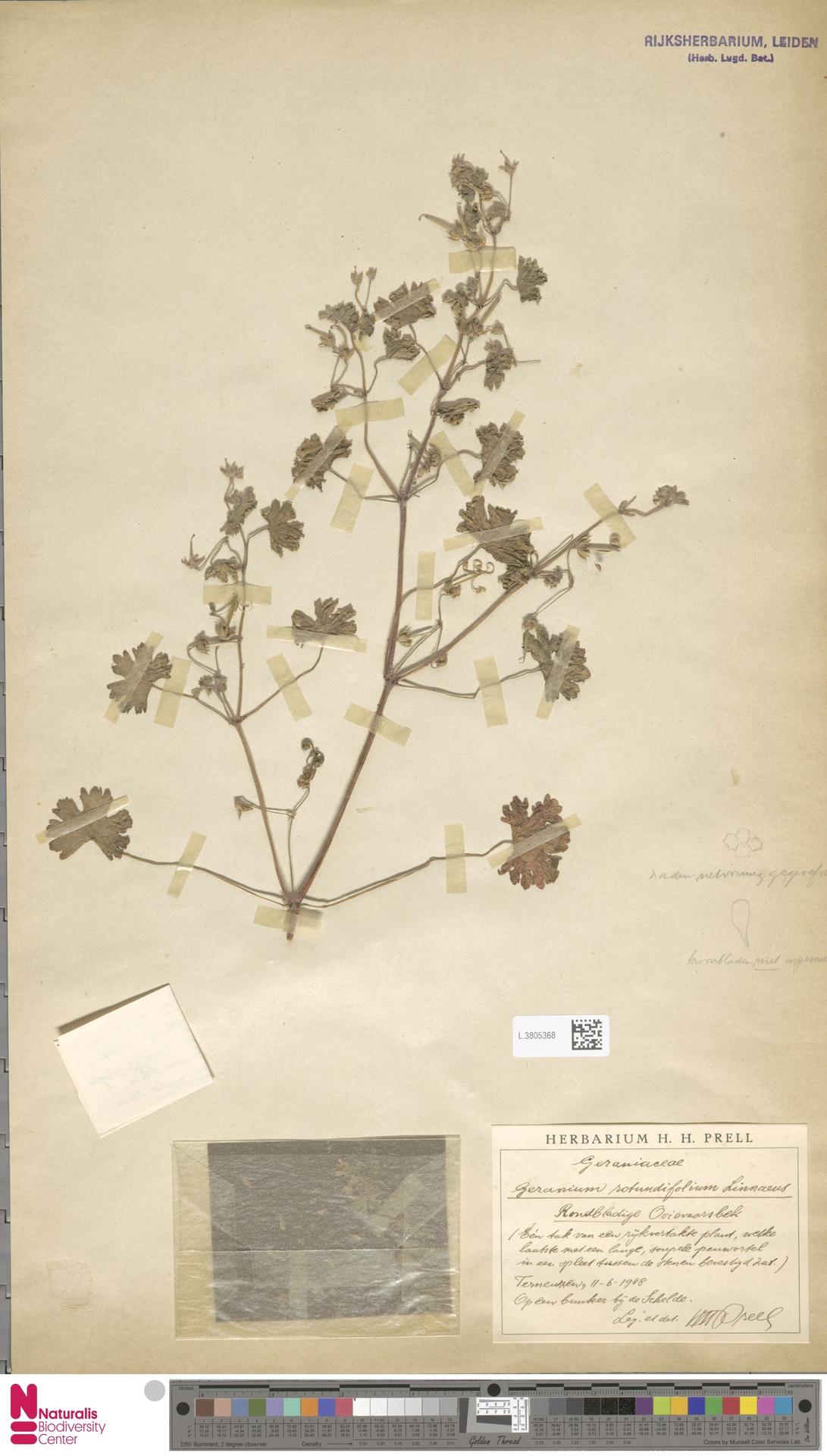 L.3805368 | Geranium rotundifolium L.