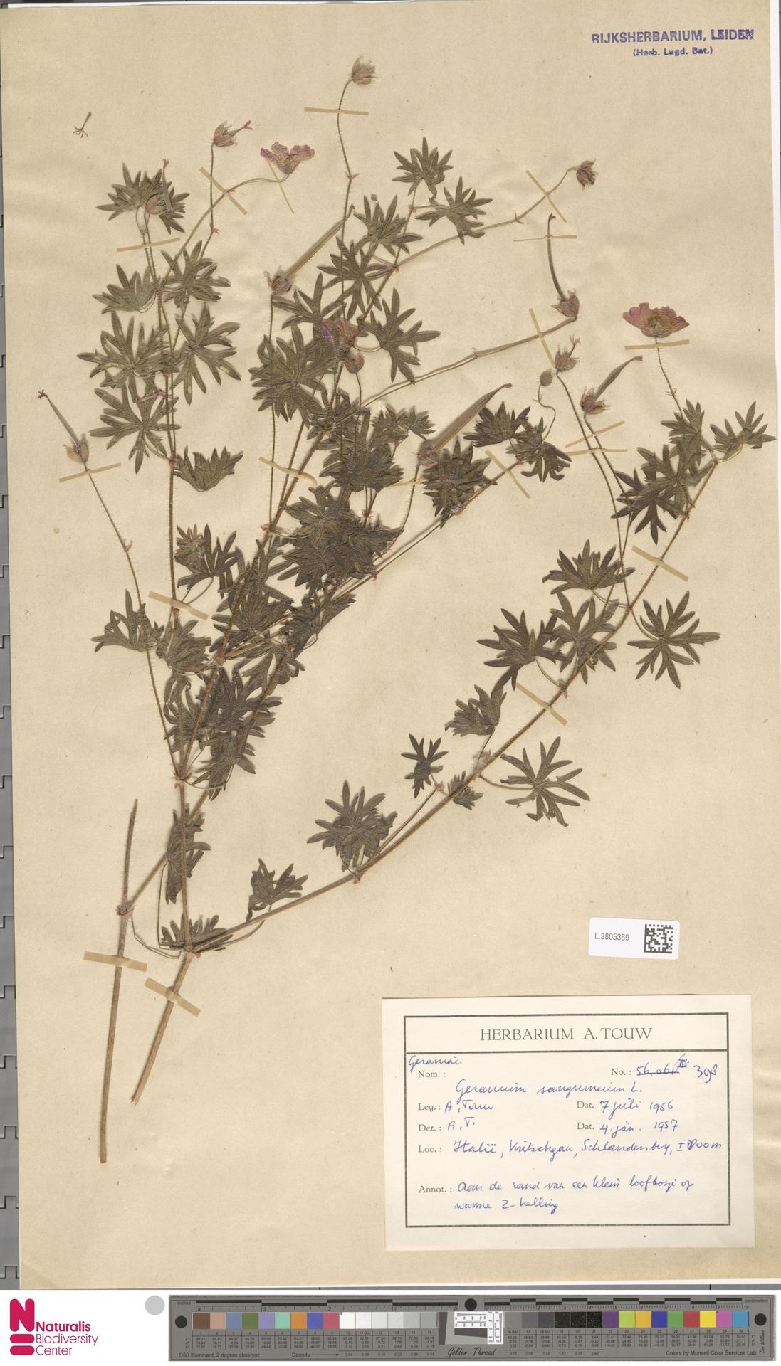 L.3805369 | Geranium sanguineum L.