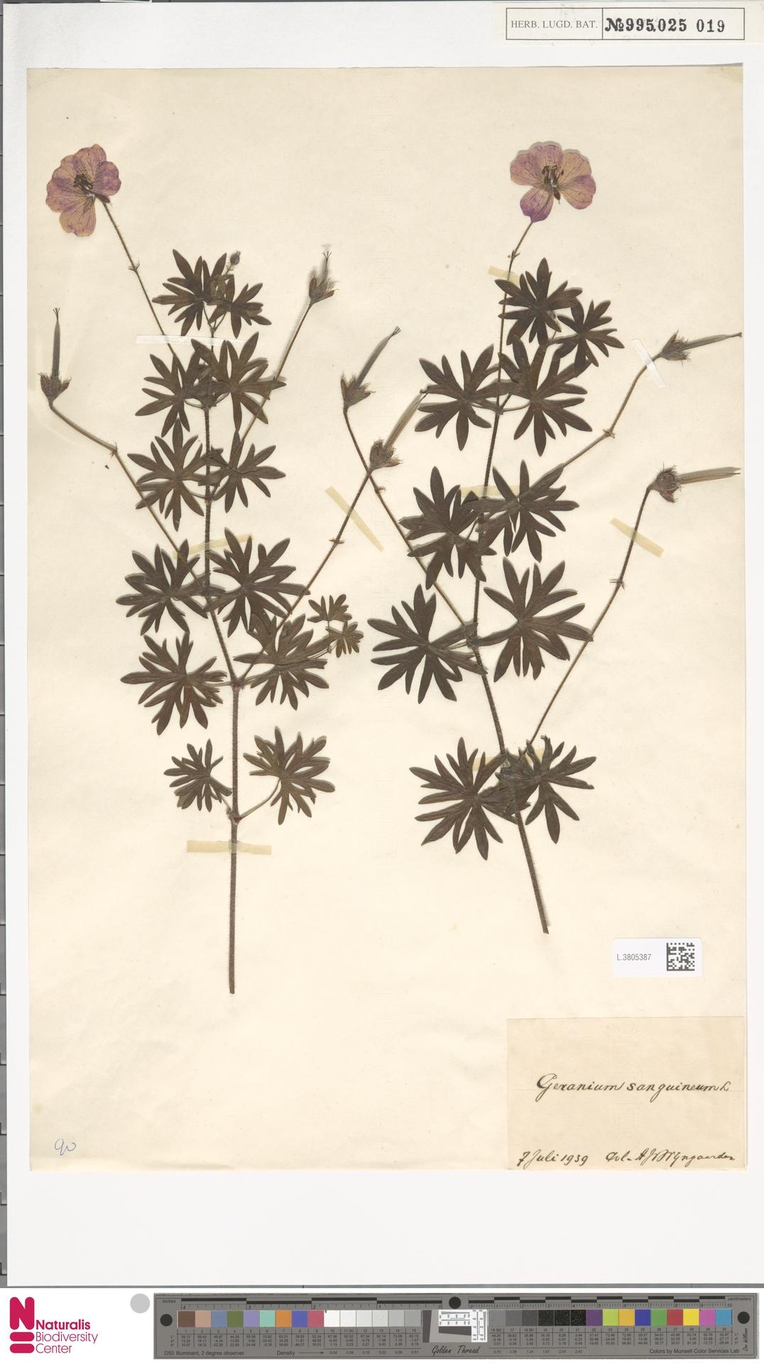 L.3805387   Geranium sanguineum L.