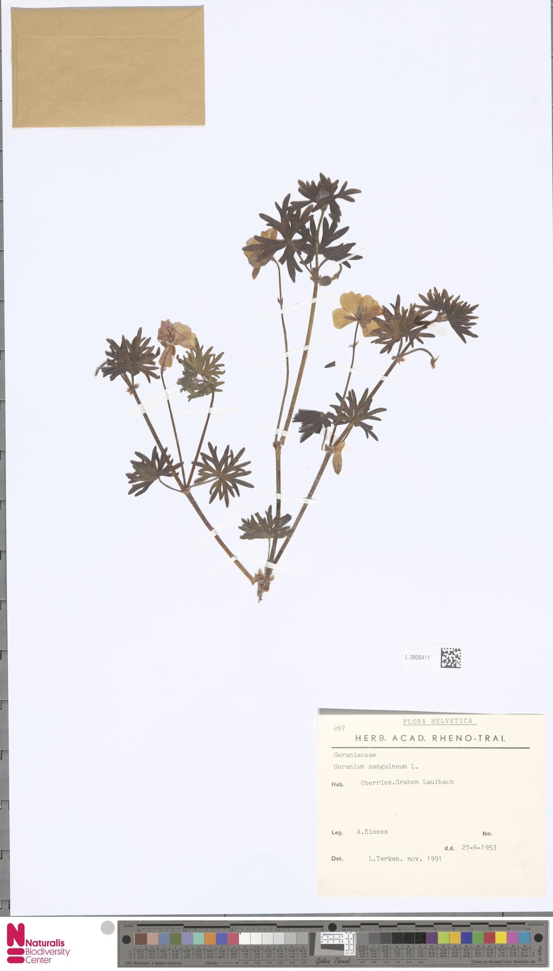 L.3805411 | Geranium sanguineum L.
