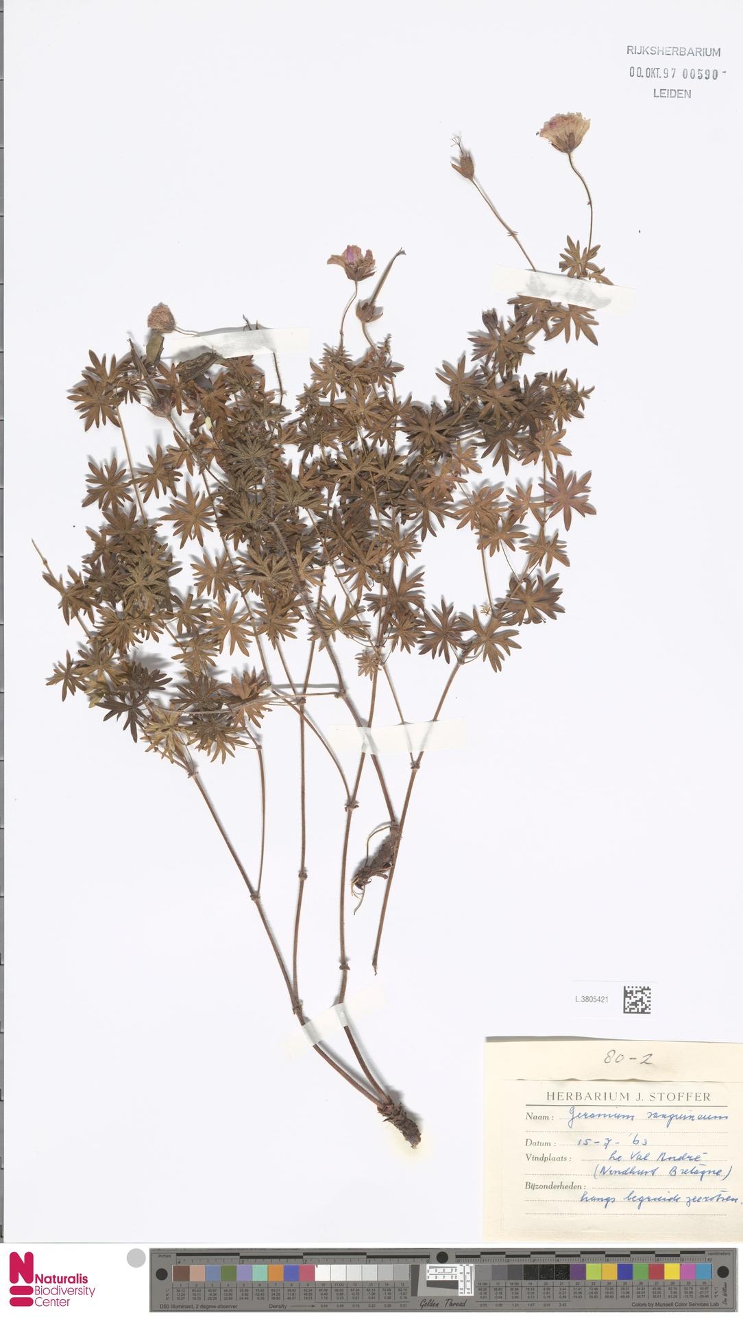 L.3805421   Geranium sanguineum L.