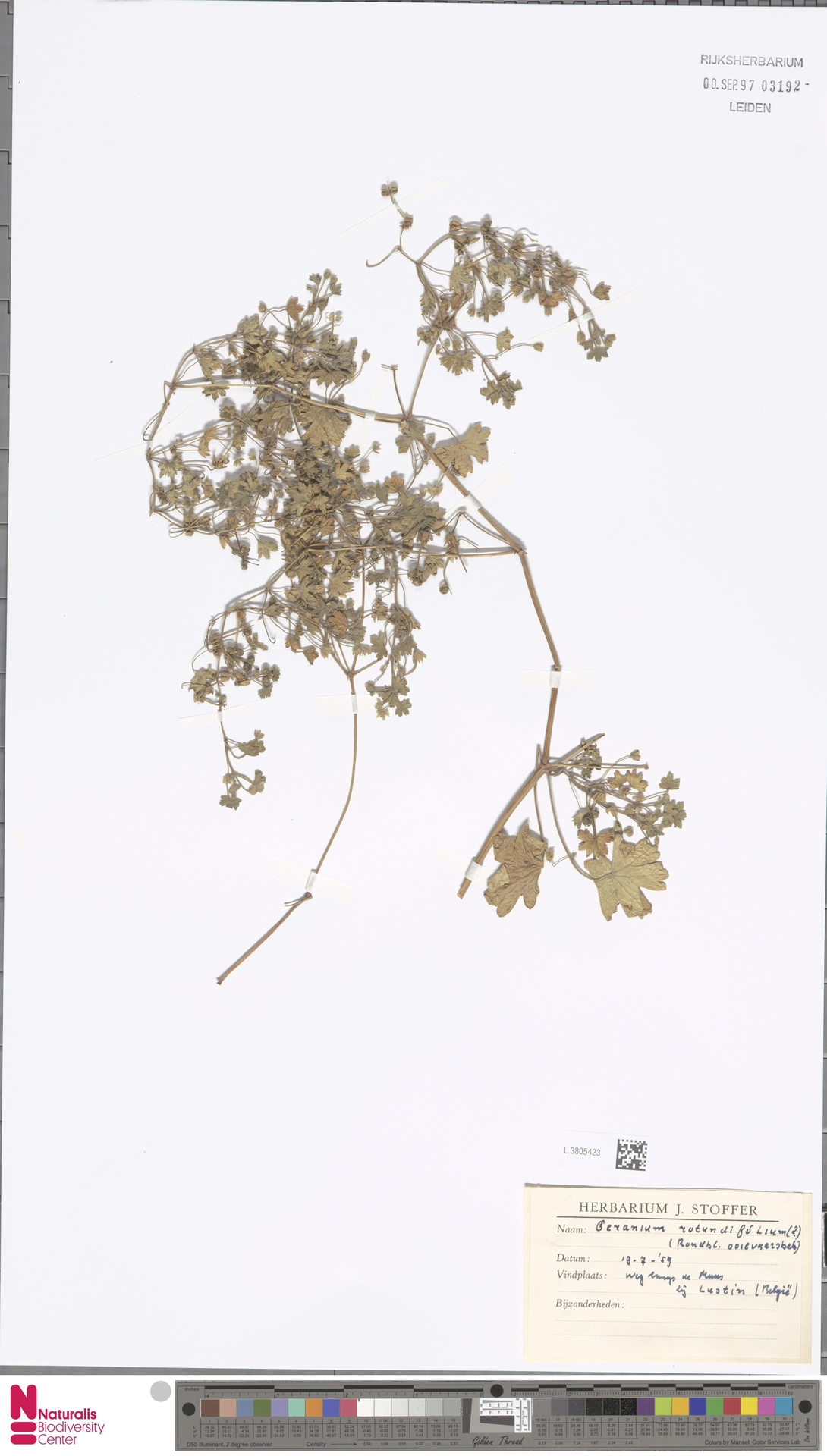 L.3805423   Geranium rotundifolium L.