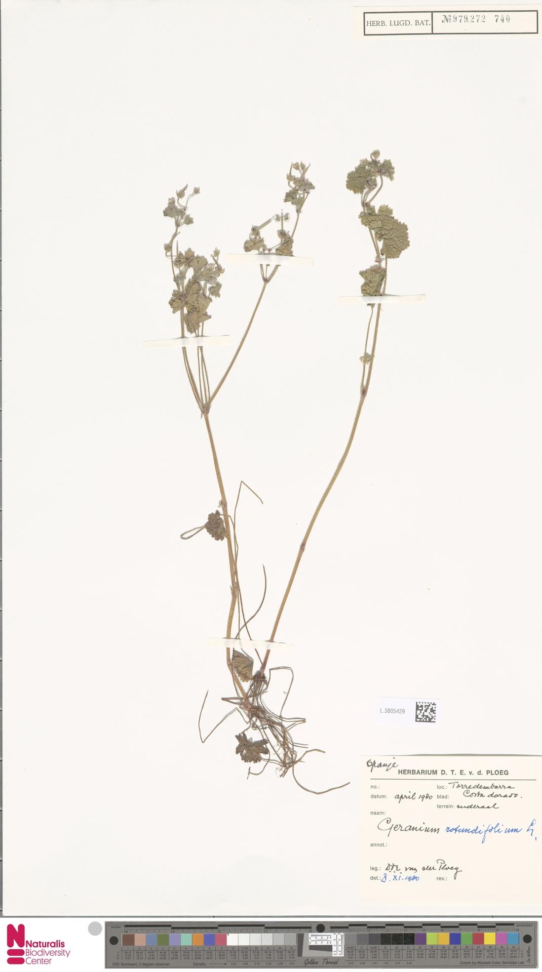 L.3805429 | Geranium rotundifolium L.