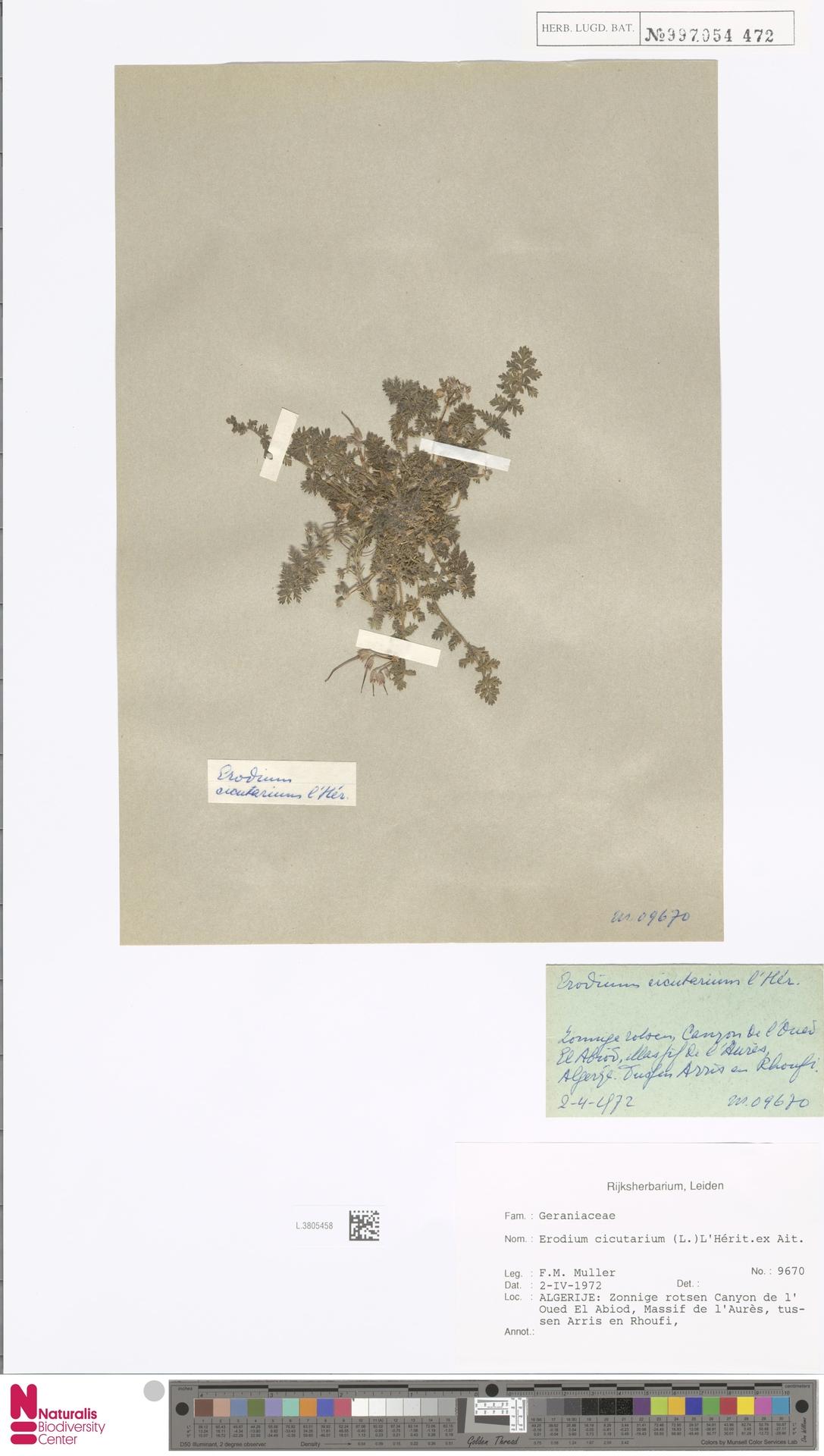 L.3805458 | Erodium cicutarium (L.) L'Hér.