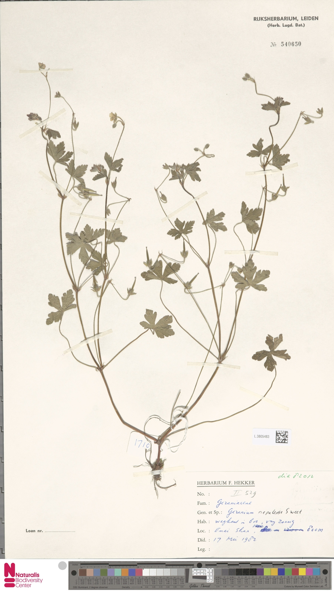 L.3805483 | Geranium nepalense Sweet