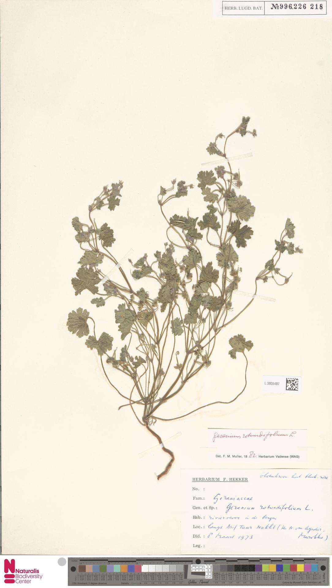 L.3805487   Geranium rotundifolium L.