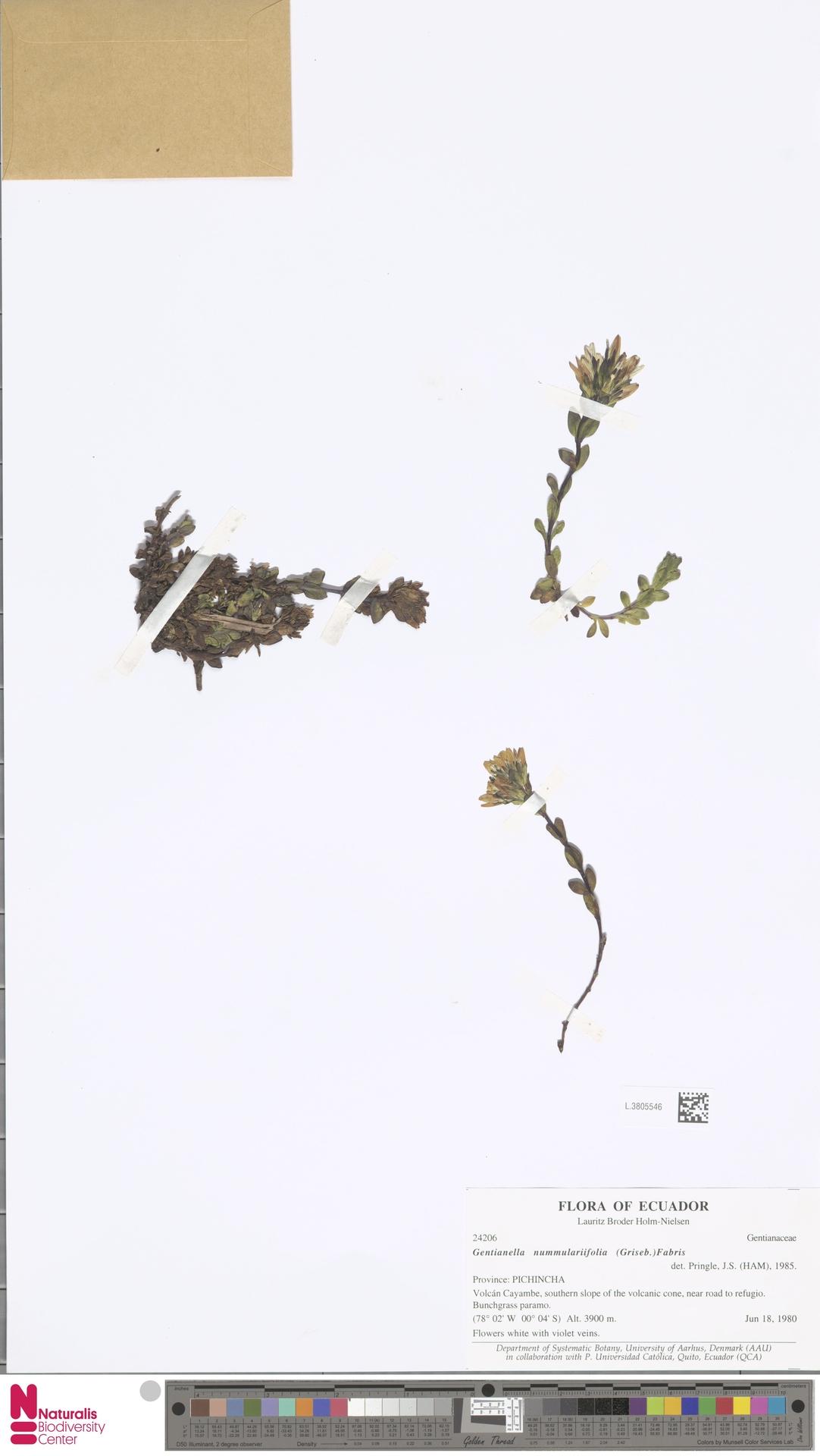 L.3805546 | Gentianella nummularifolia (Griseb.) Fabris