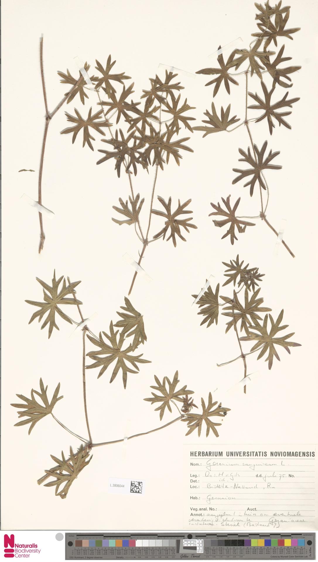 L.3806044   Geranium sanguineum L.