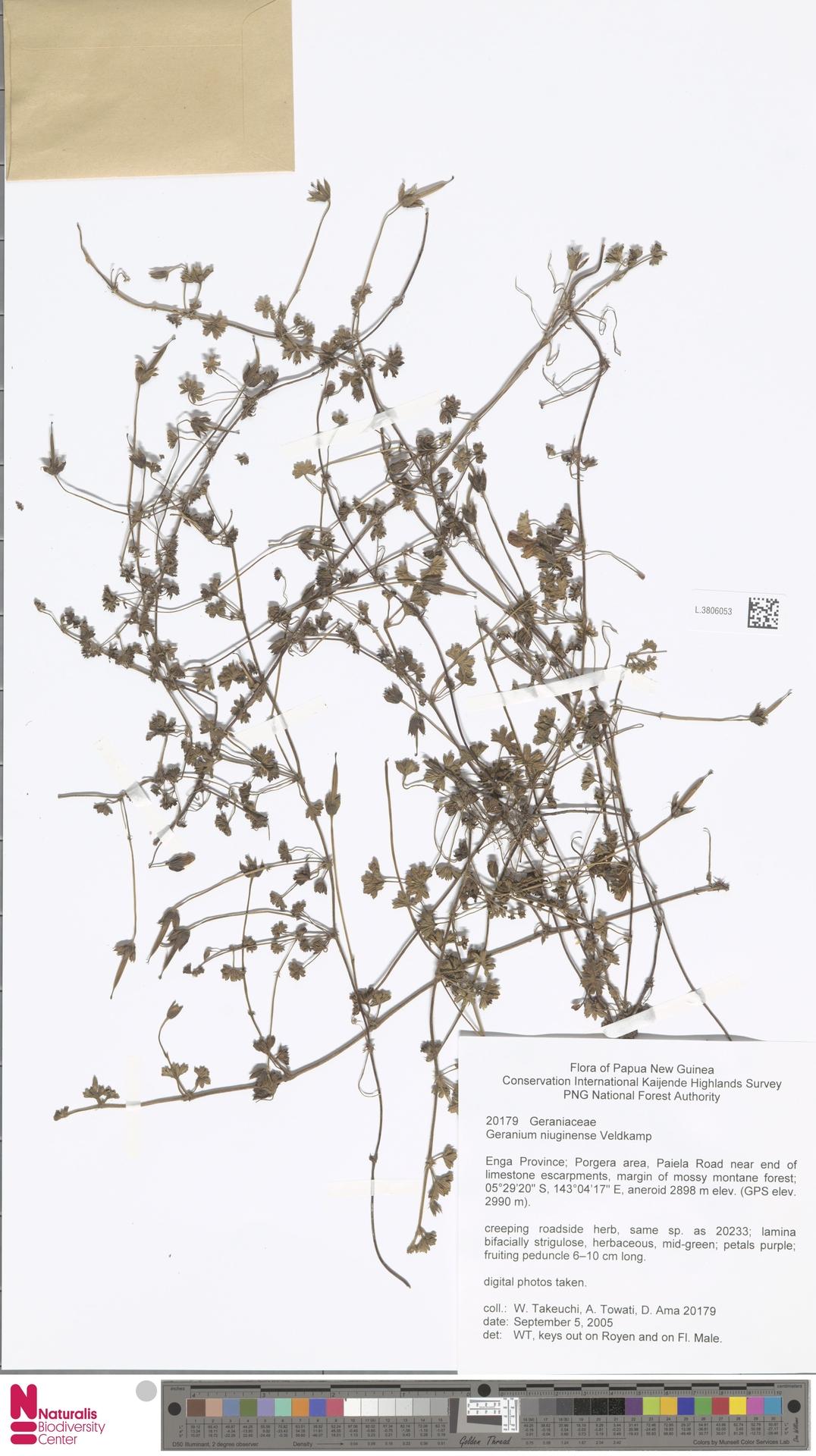 L.3806053 | Geranium niuginiense Veldkamp