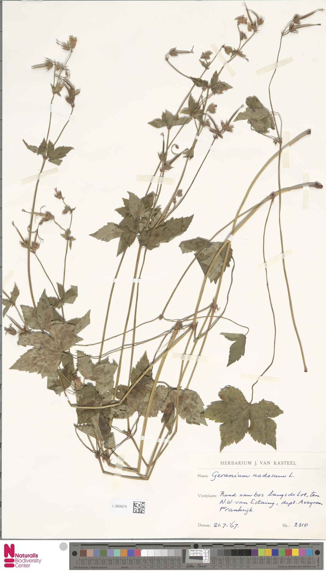 L.3806076 | Geranium nodosum L.