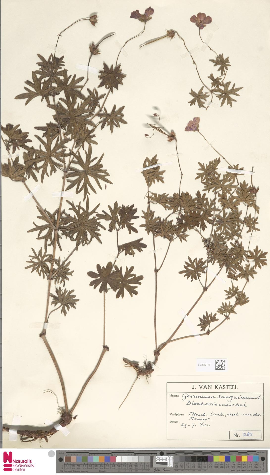 L.3806077   Geranium sanguineum L.