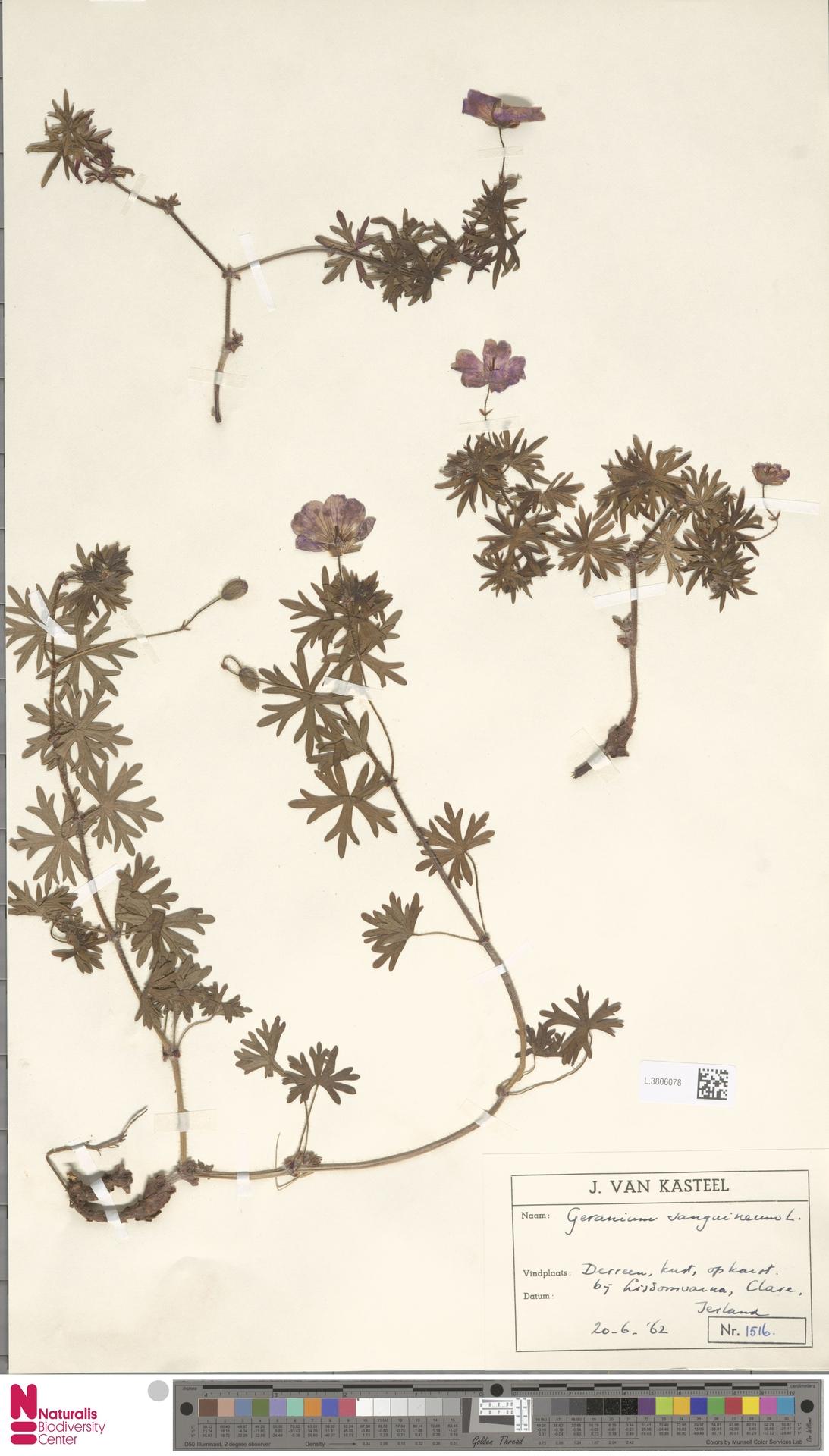L.3806078 | Geranium sanguineum L.