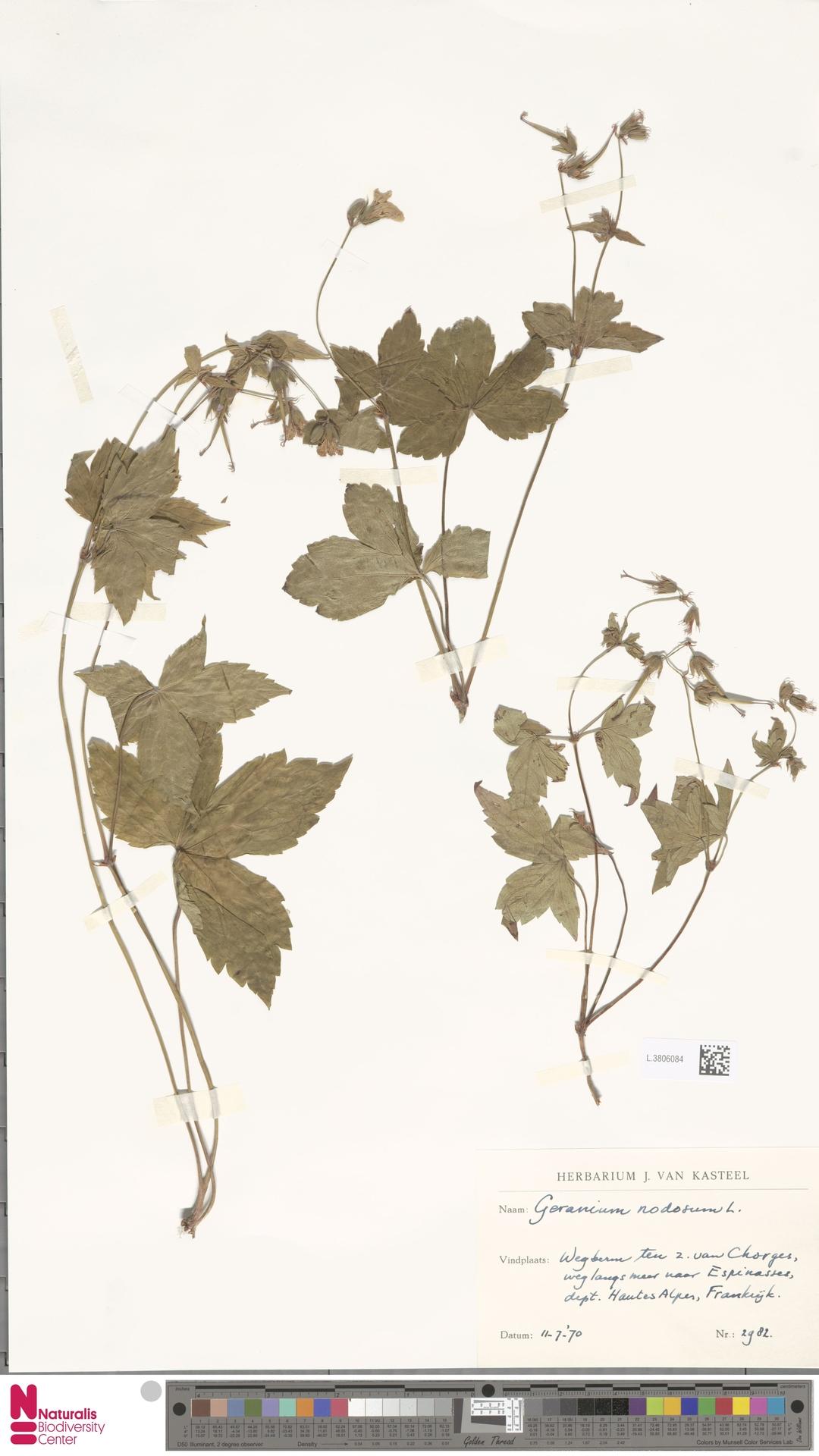 L.3806084   Geranium nodosum L.