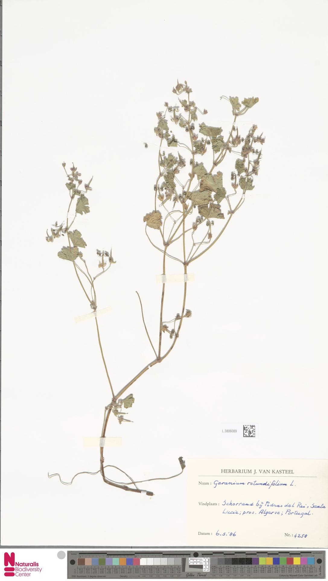 L.3806089 | Geranium rotundifolium L.