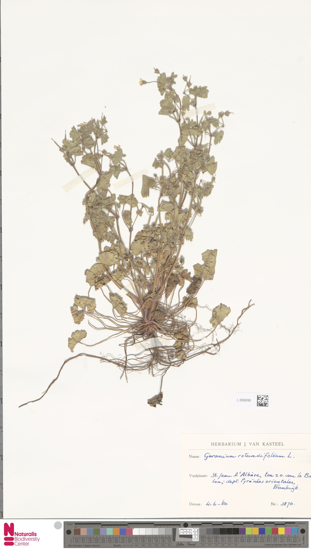 L.3806090 | Geranium rotundifolium L.