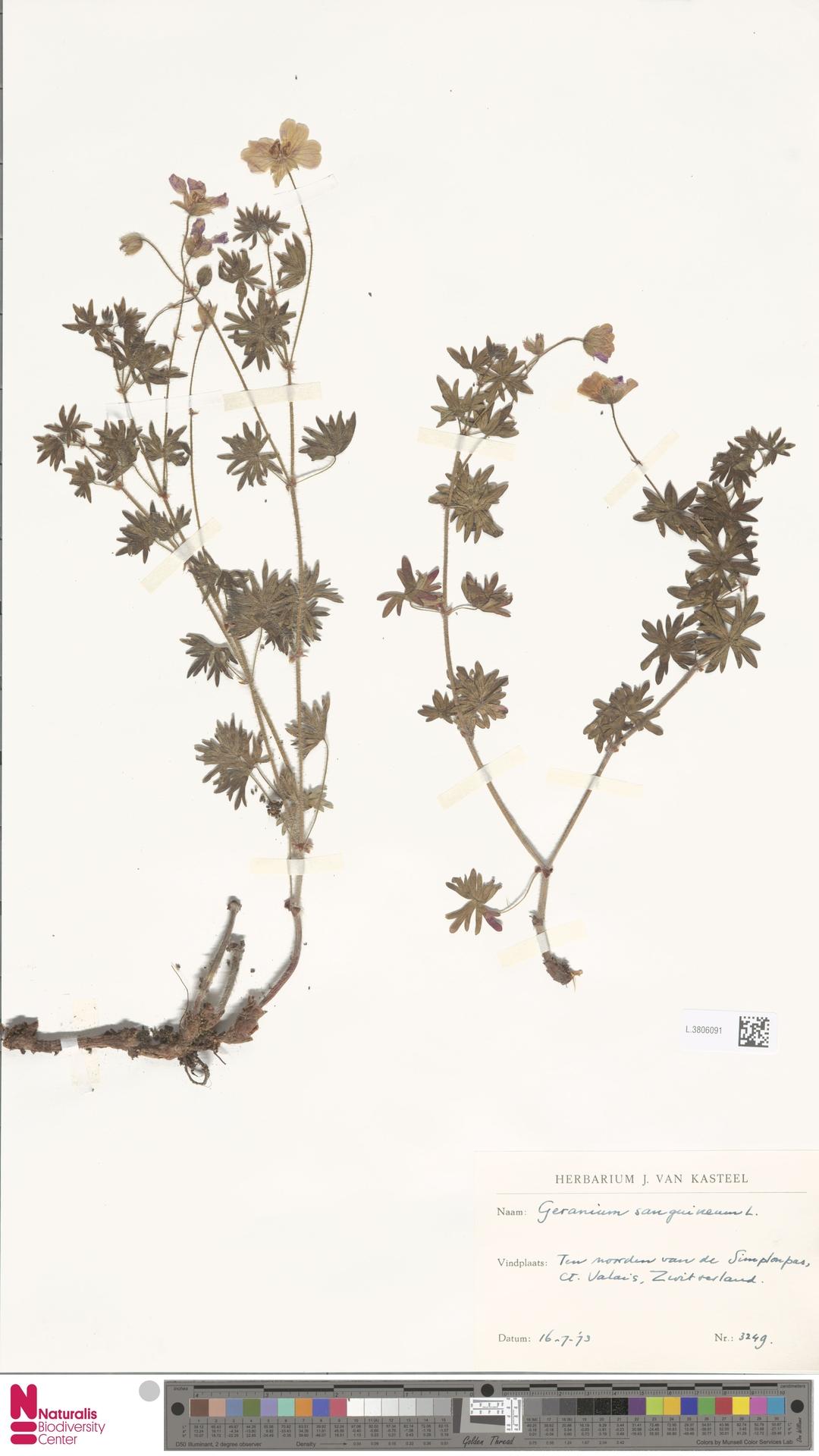 L.3806091 | Geranium sanguineum L.