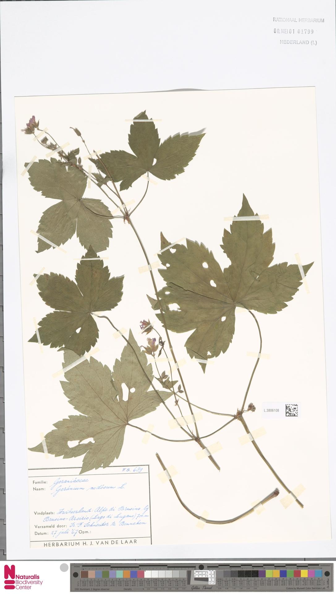 L.3806108 | Geranium nodosum L.