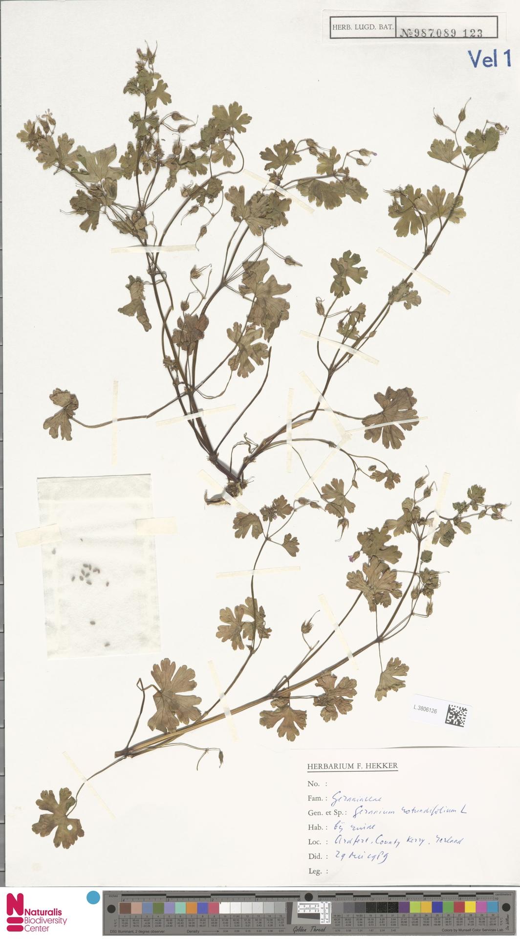 L.3806126   Geranium rotundifolium L.