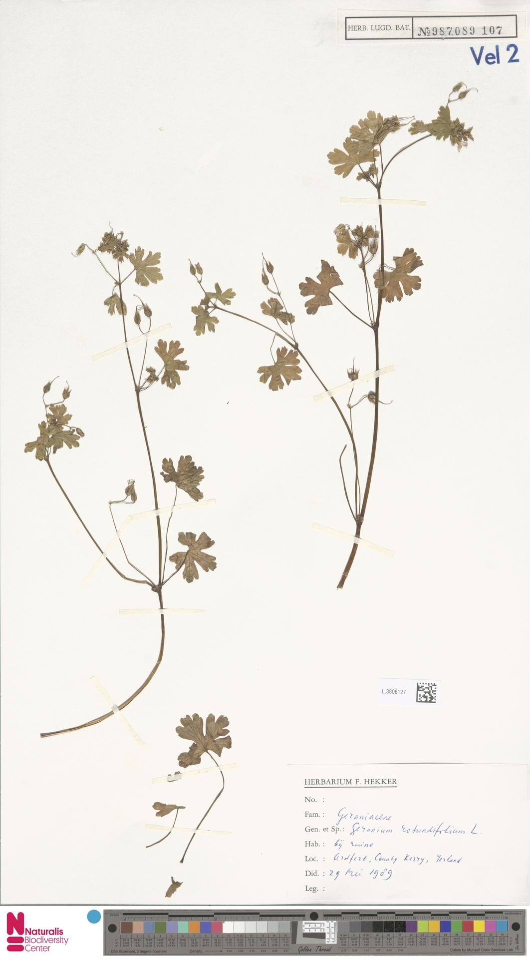 L.3806127 | Geranium rotundifolium L.