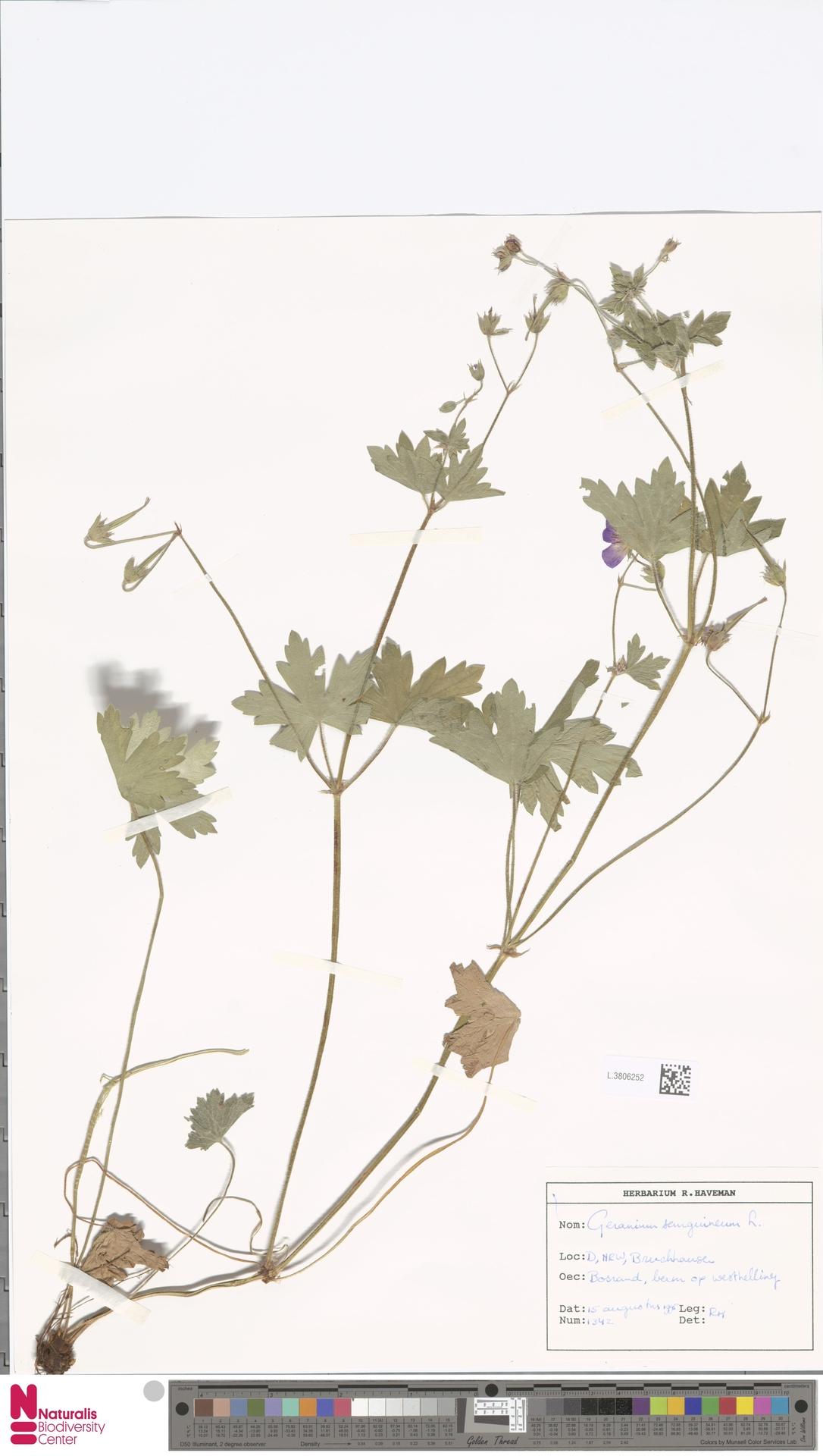 L.3806252 | Geranium sanguineum L.