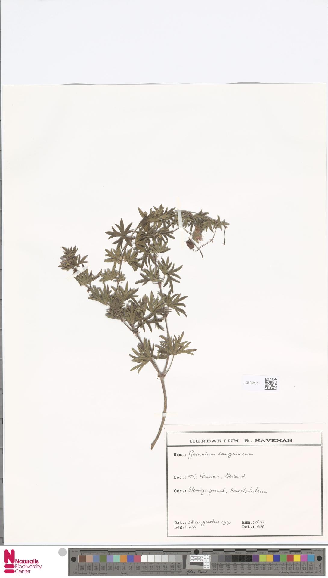 L.3806254   Geranium sanguineum L.
