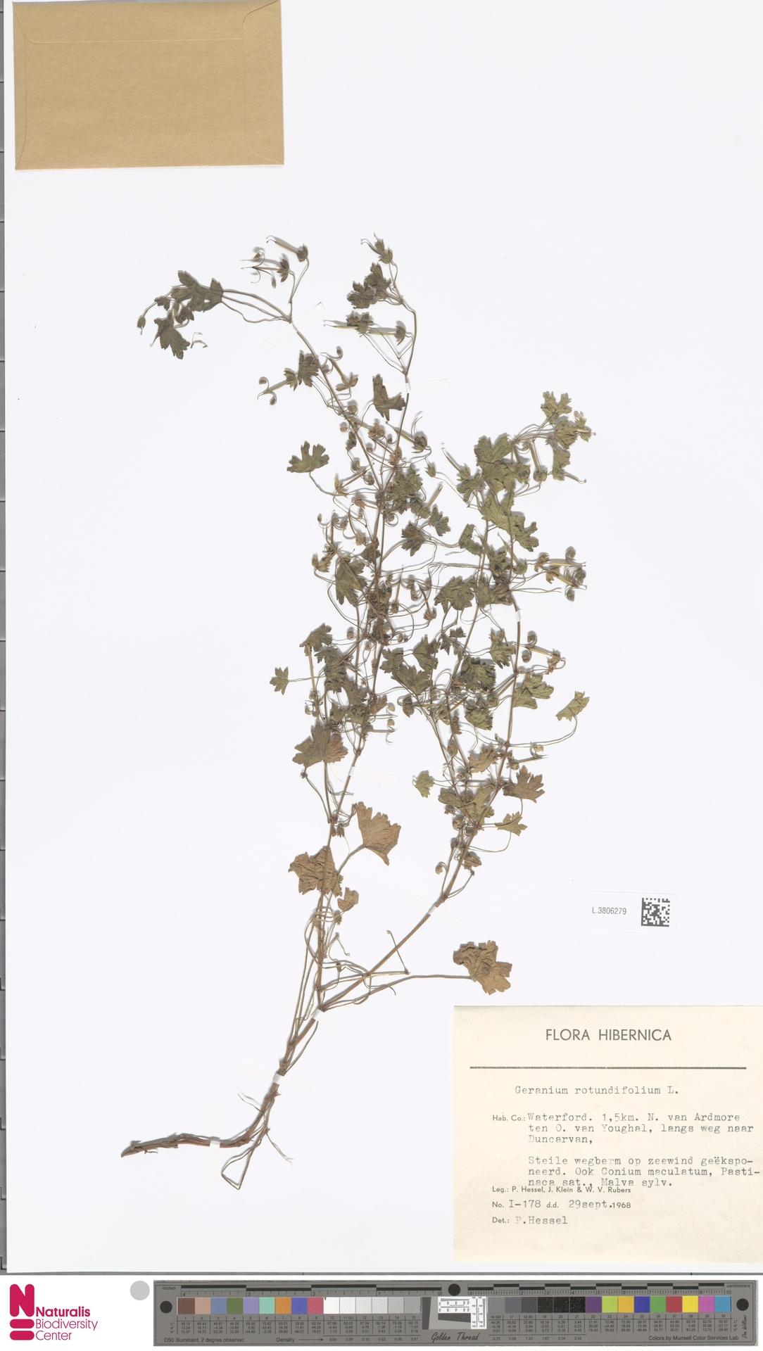 L.3806279 | Geranium rotundifolium L.