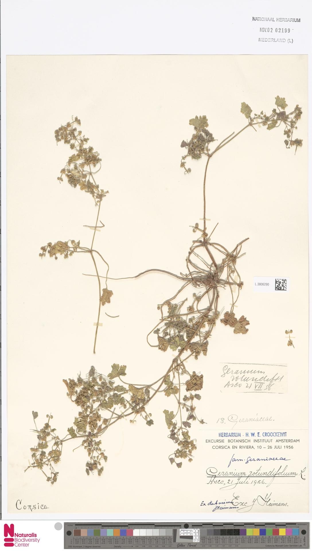 L.3806290 | Geranium rotundifolium L.