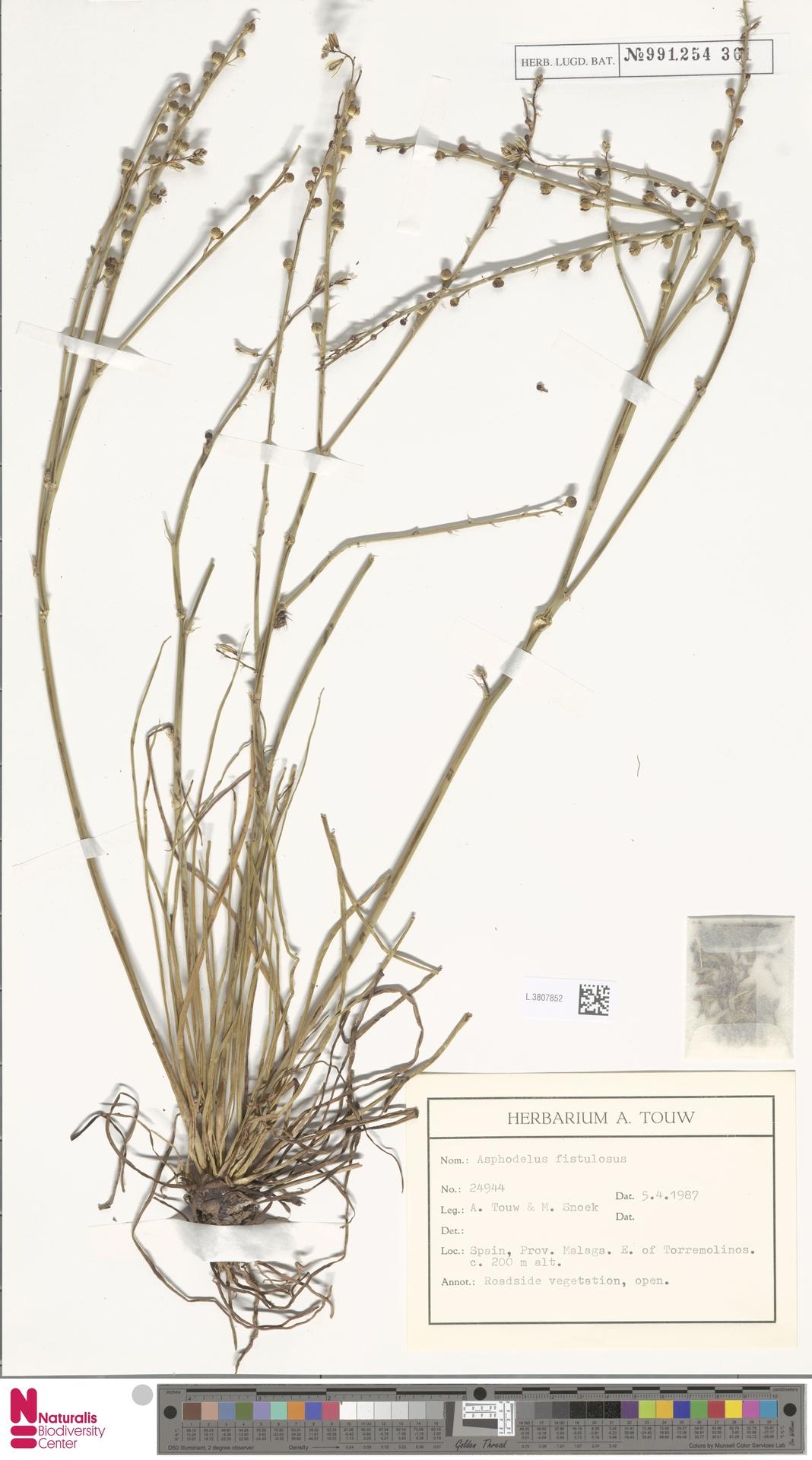 L.3807852 | Asphodelus fistulosus L.